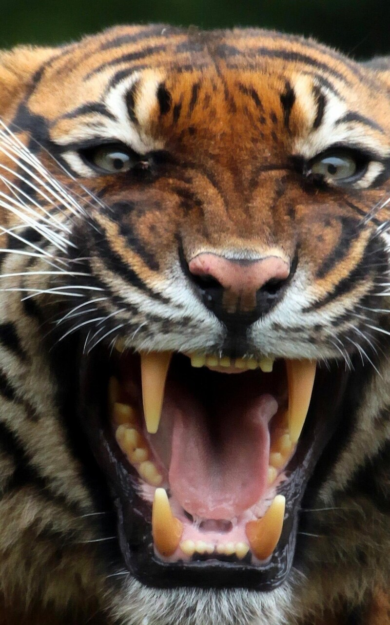tiger-teeths.jpg