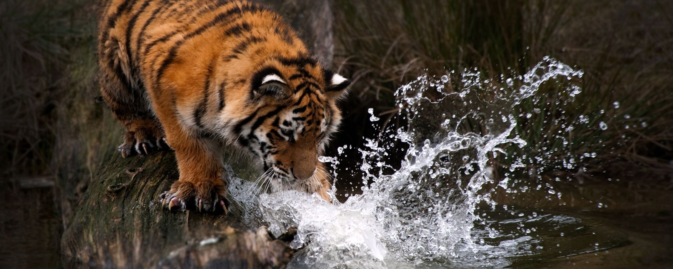 tiger-water-4k-ws.jpg