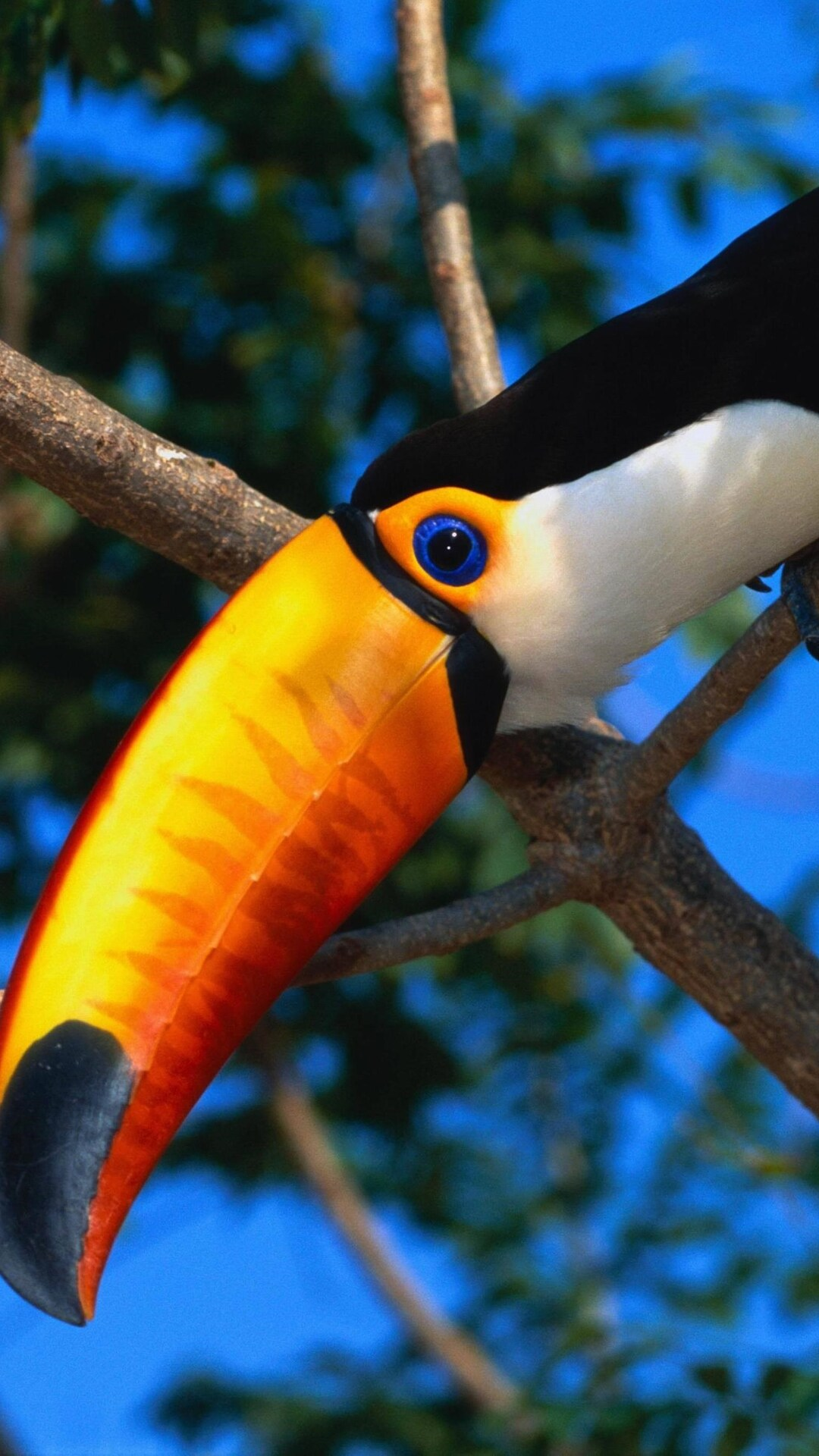 toucans-wildlife-birds-wallpaper.jpg