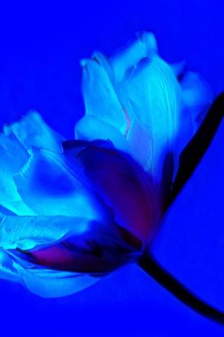 tulip-flower-qy.jpg