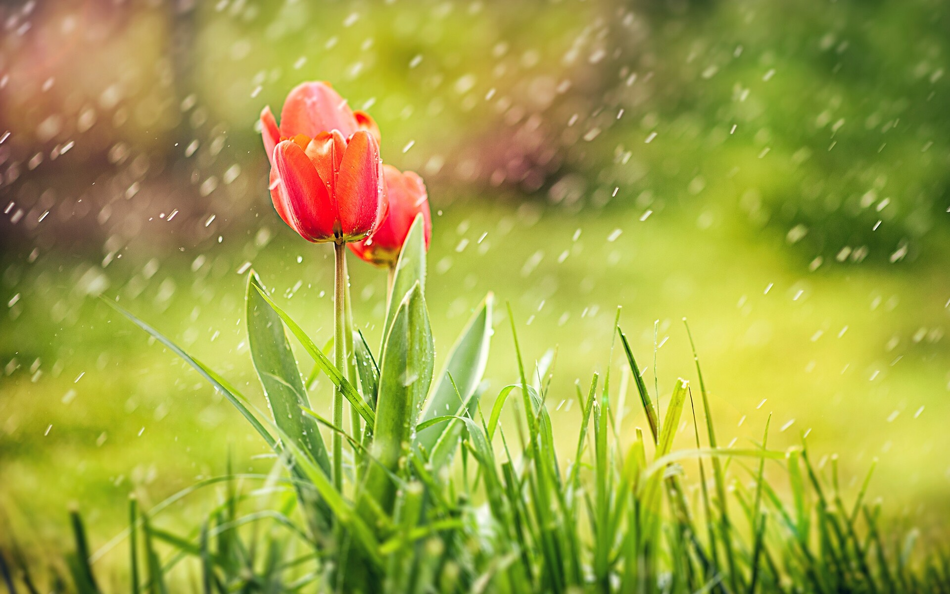 1920x1200 Tulip Rain Hd 1080p Resolution Hd 4k Wallpapers Images