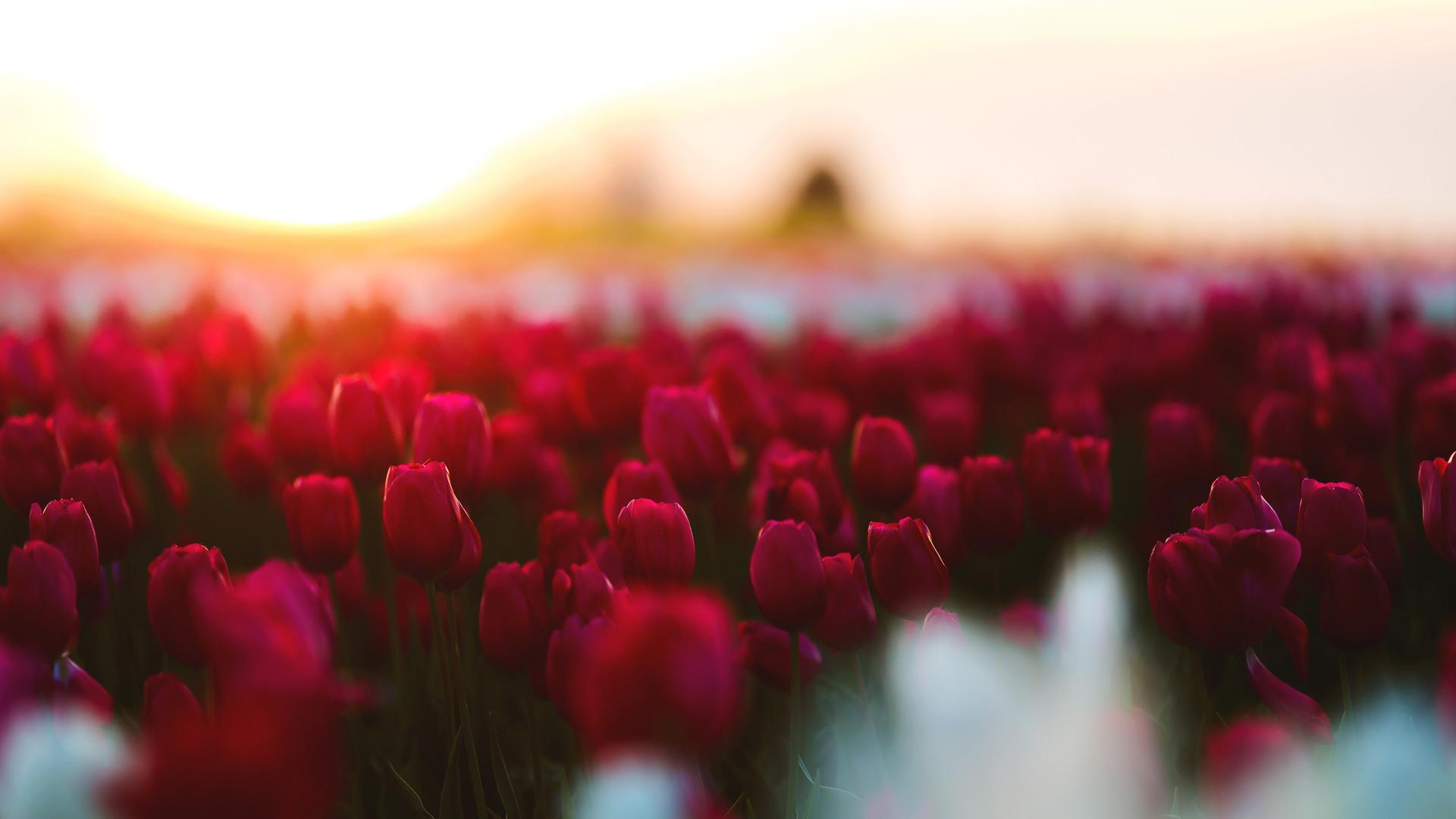 tulips-flowers-field-e2.jpg