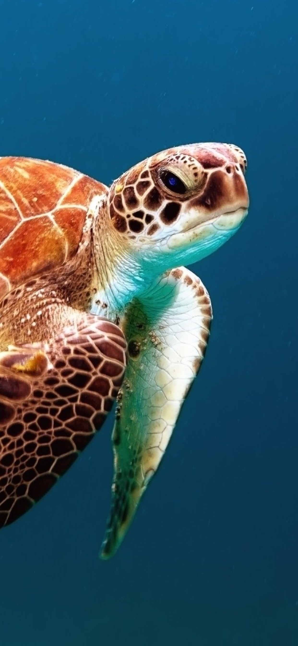 1242x2688 Turtle Reptile Underwater Iphone Xs Max Hd 4k Wallpapers