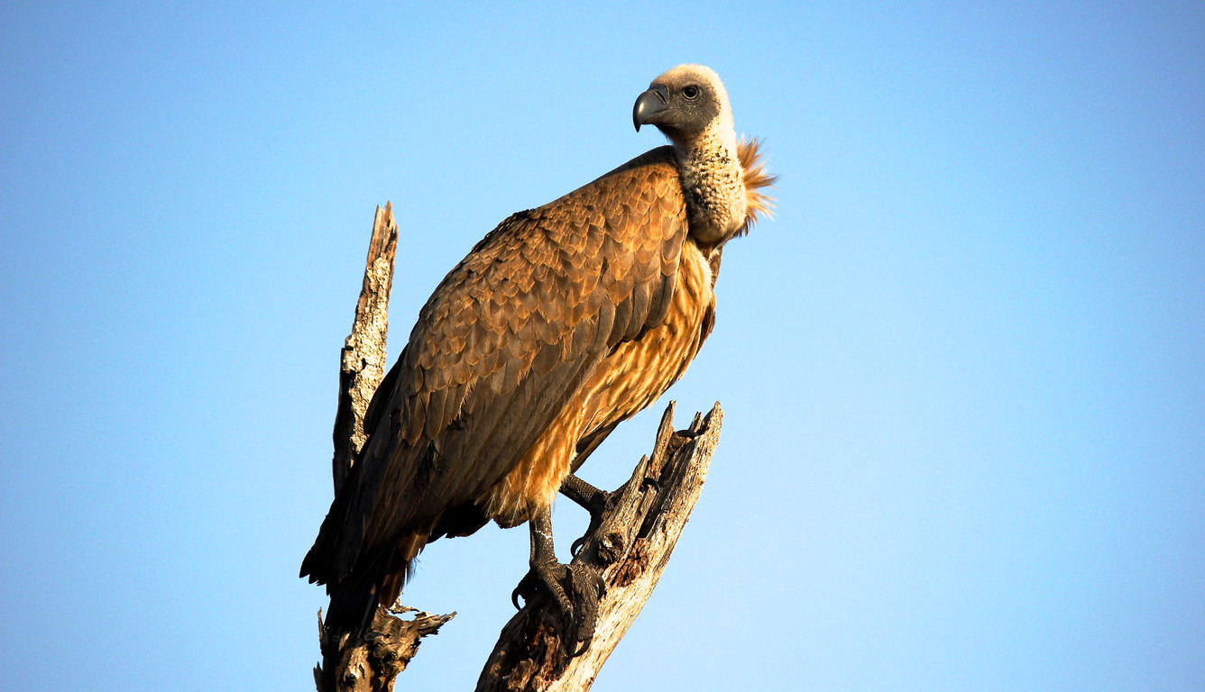 vulture-bird-ni.jpg