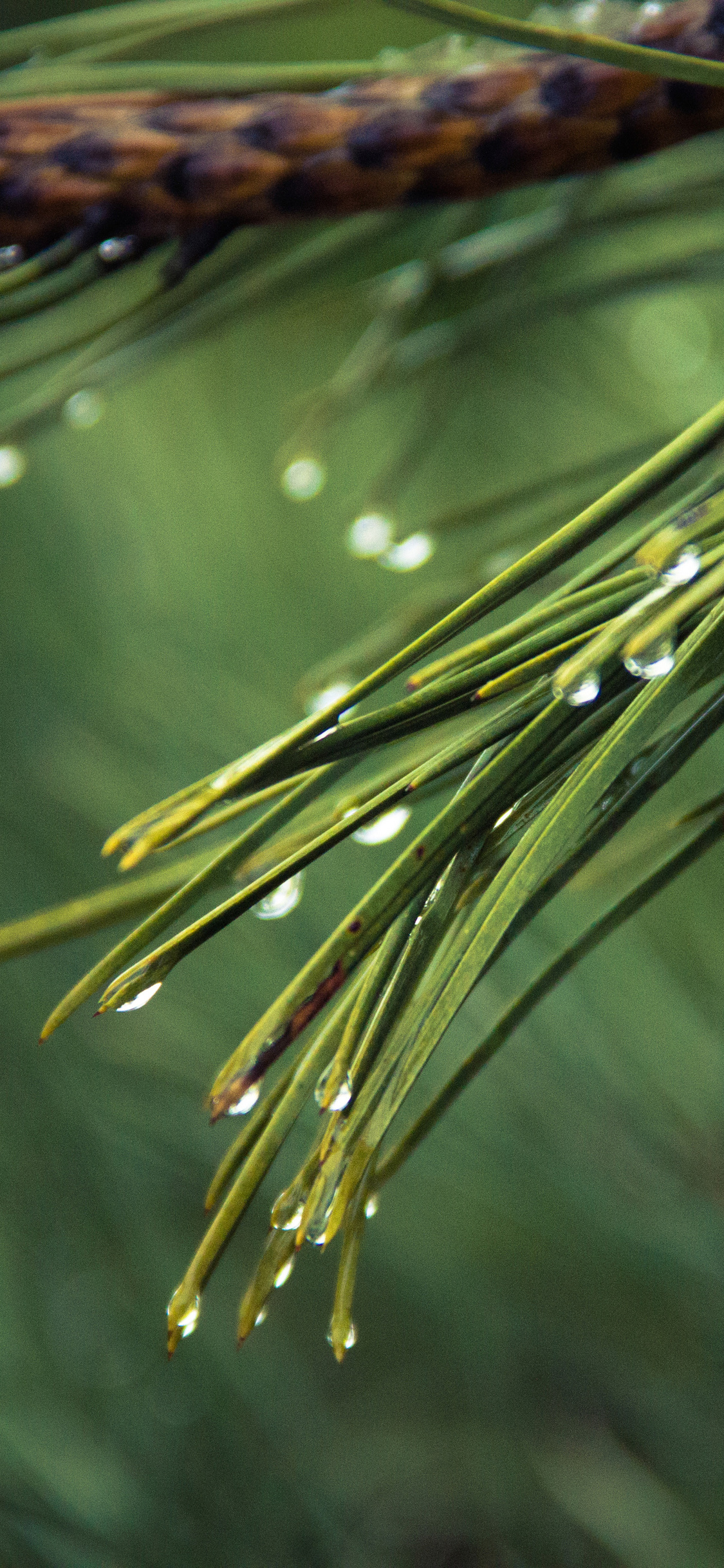 1125x2436 Water Drops On Green Pine 4k Iphone Xs Iphone 10