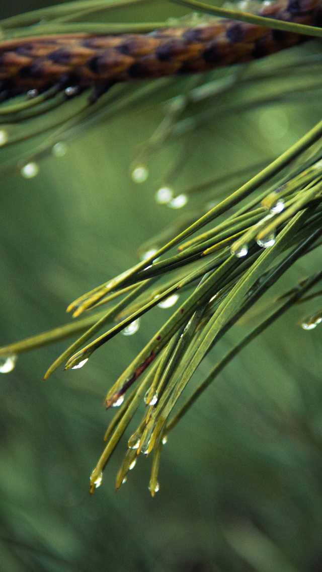 water-drops-on-green-pine-4k-8h.jpg