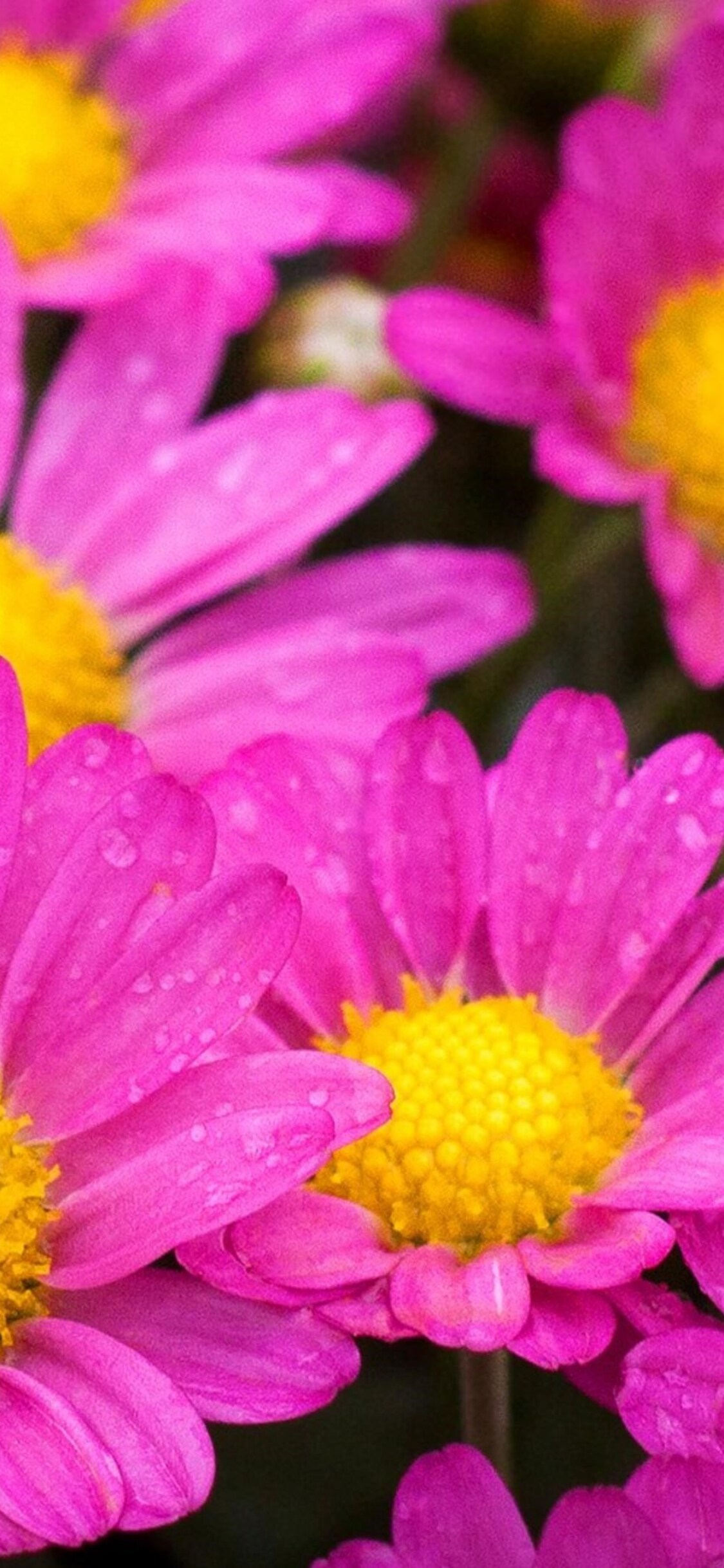1125x2436 Water Drops On Pink Daisies Iphone Xs Iphone 10 Iphone X