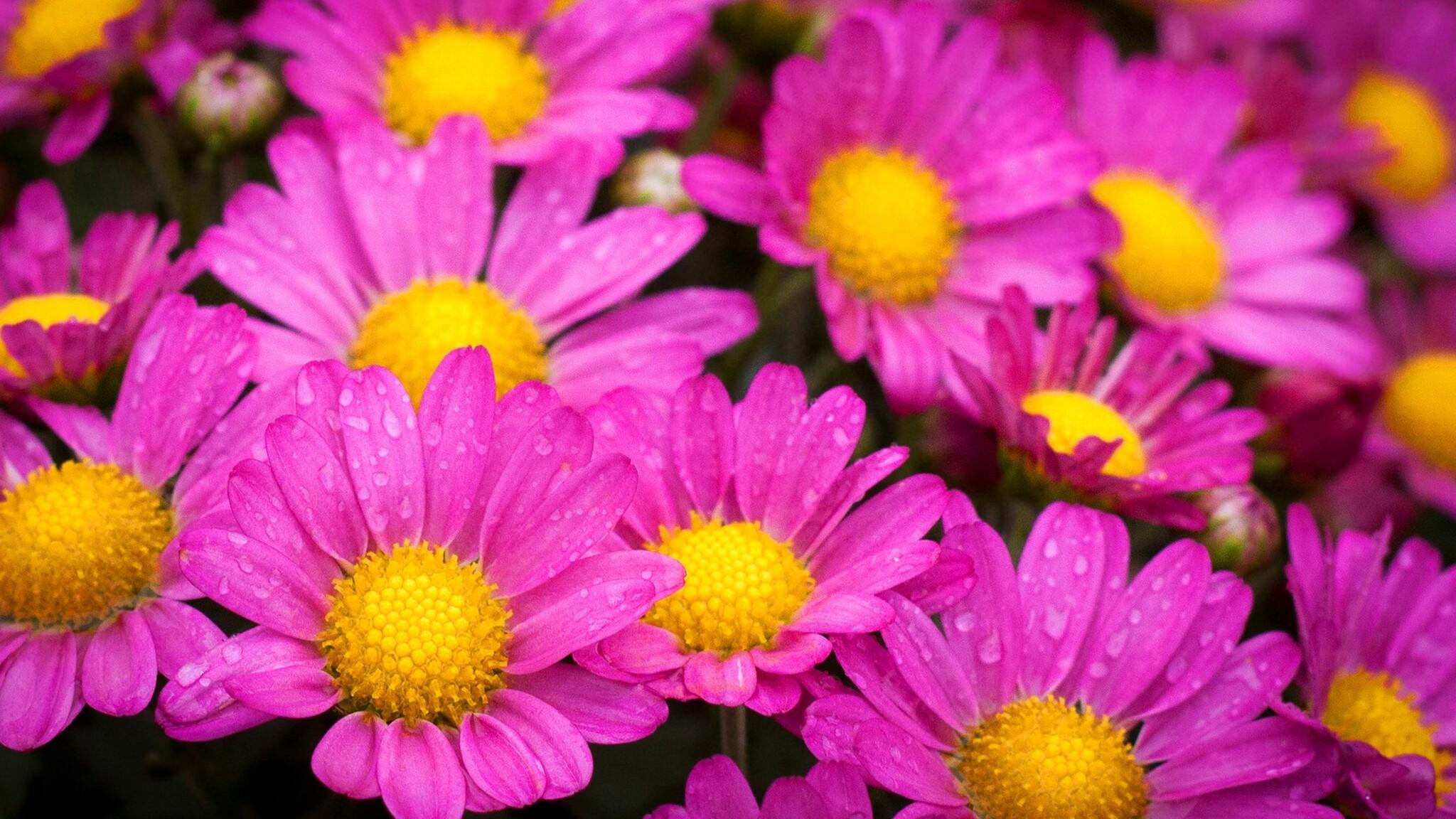 water-drops-on-pink-daisies.jpg