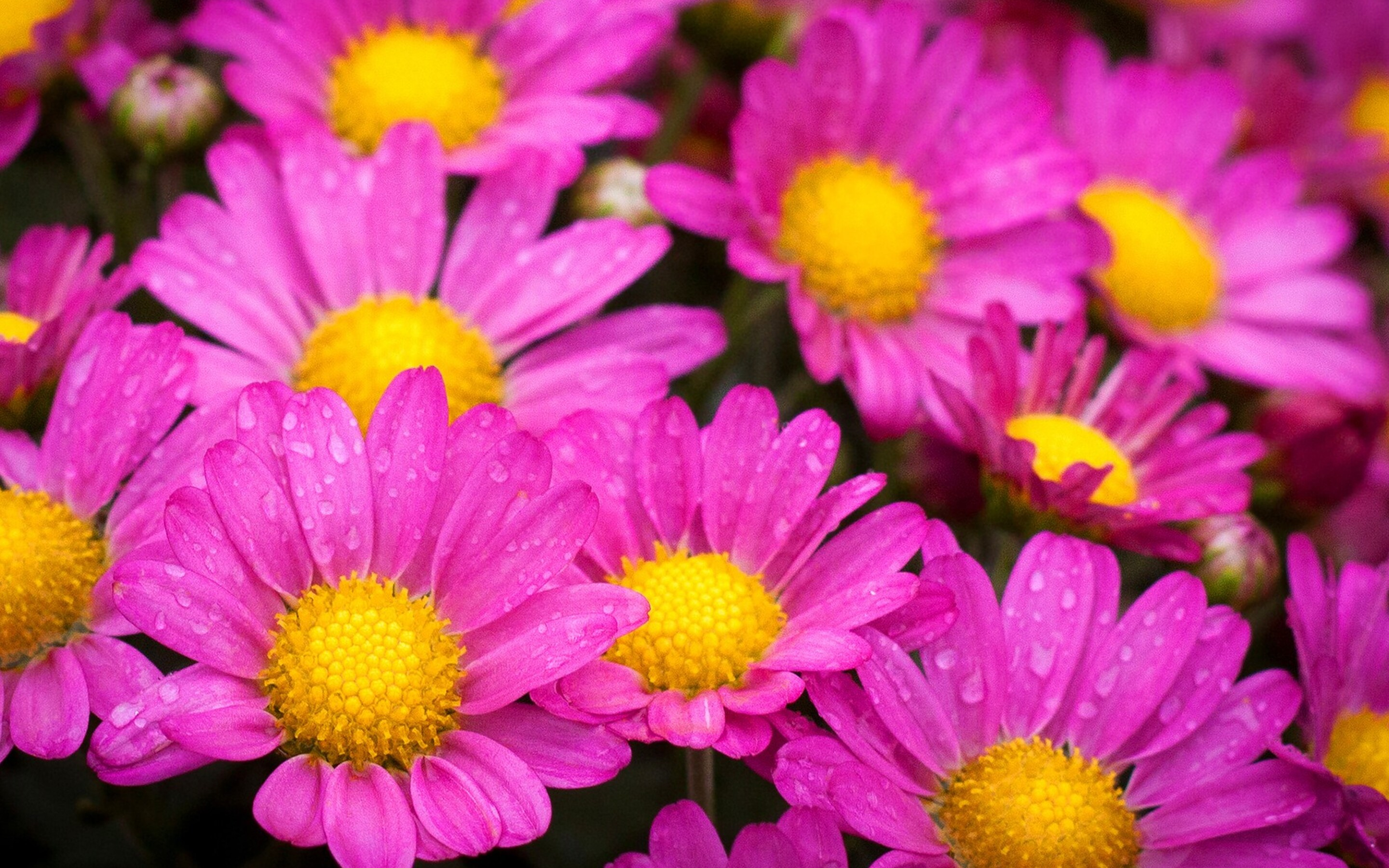 water-drops-on-pink-daisies.jpg