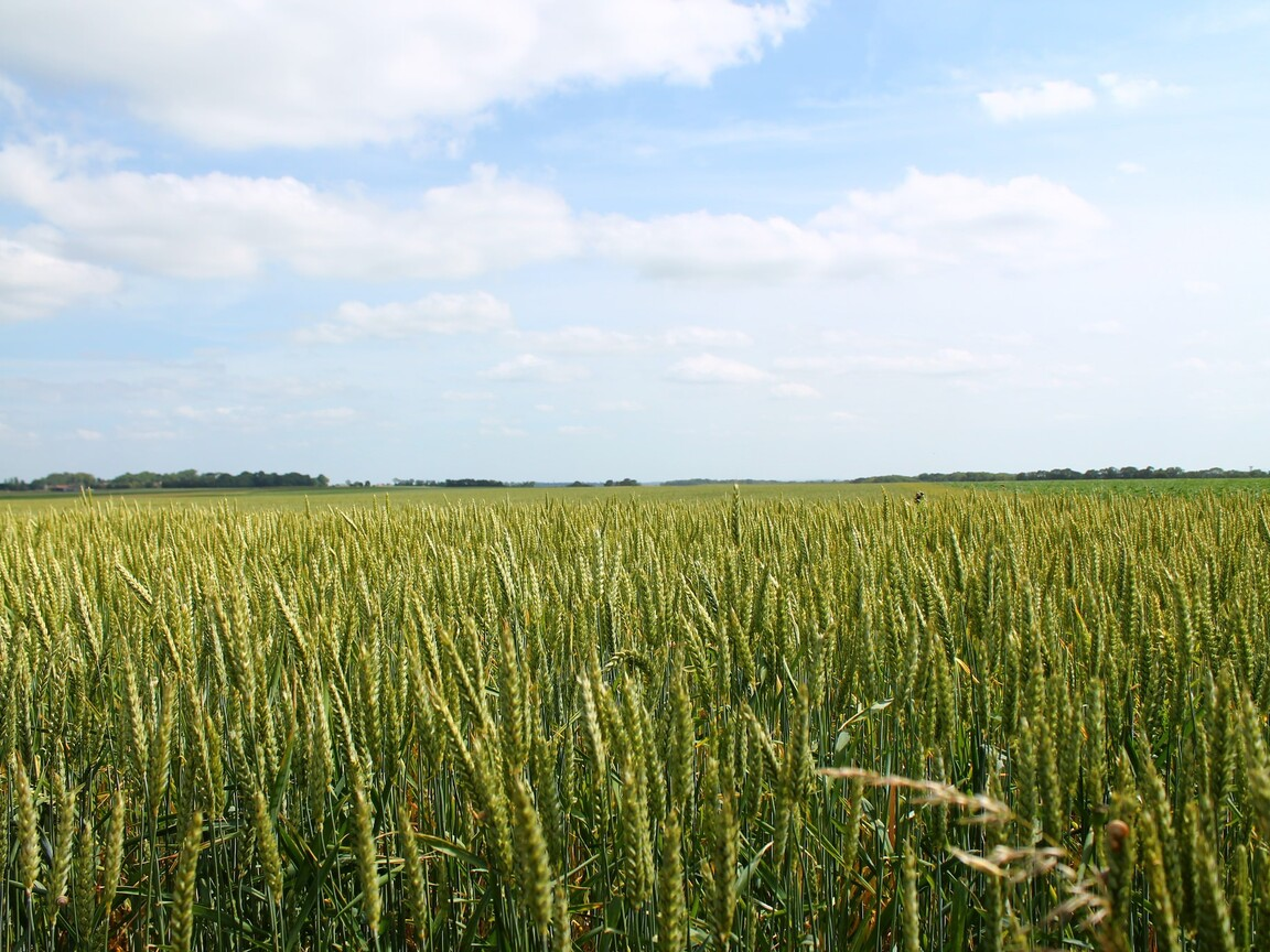 wheat-field-pic.jpg