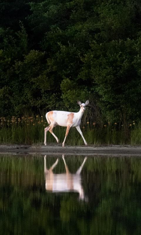 white-deer-gc.jpg