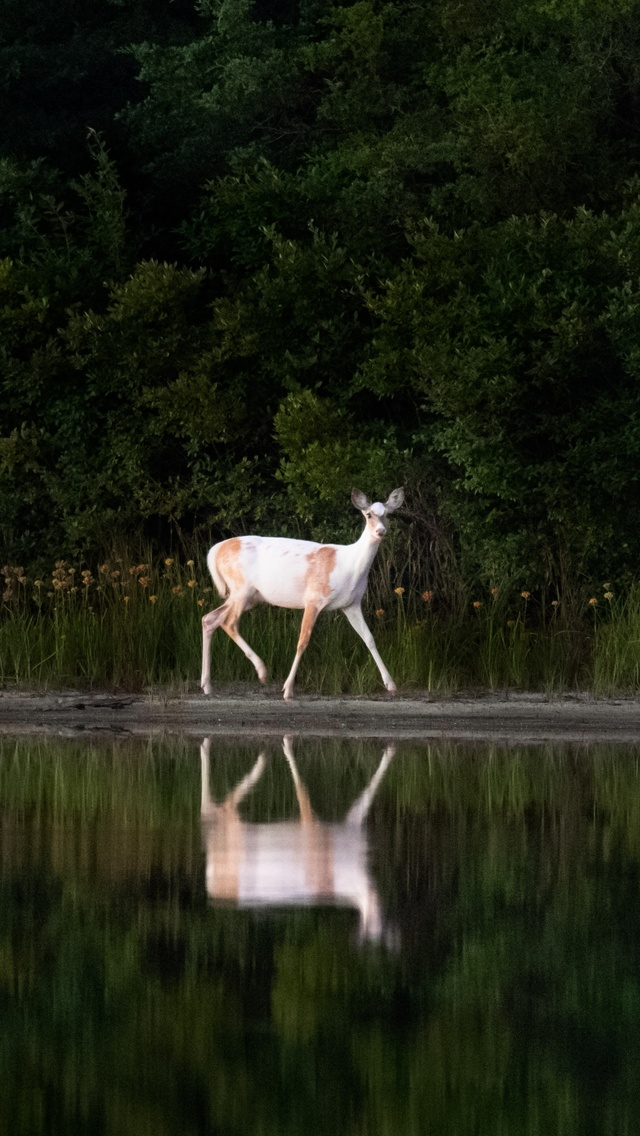white-deer-gc.jpg