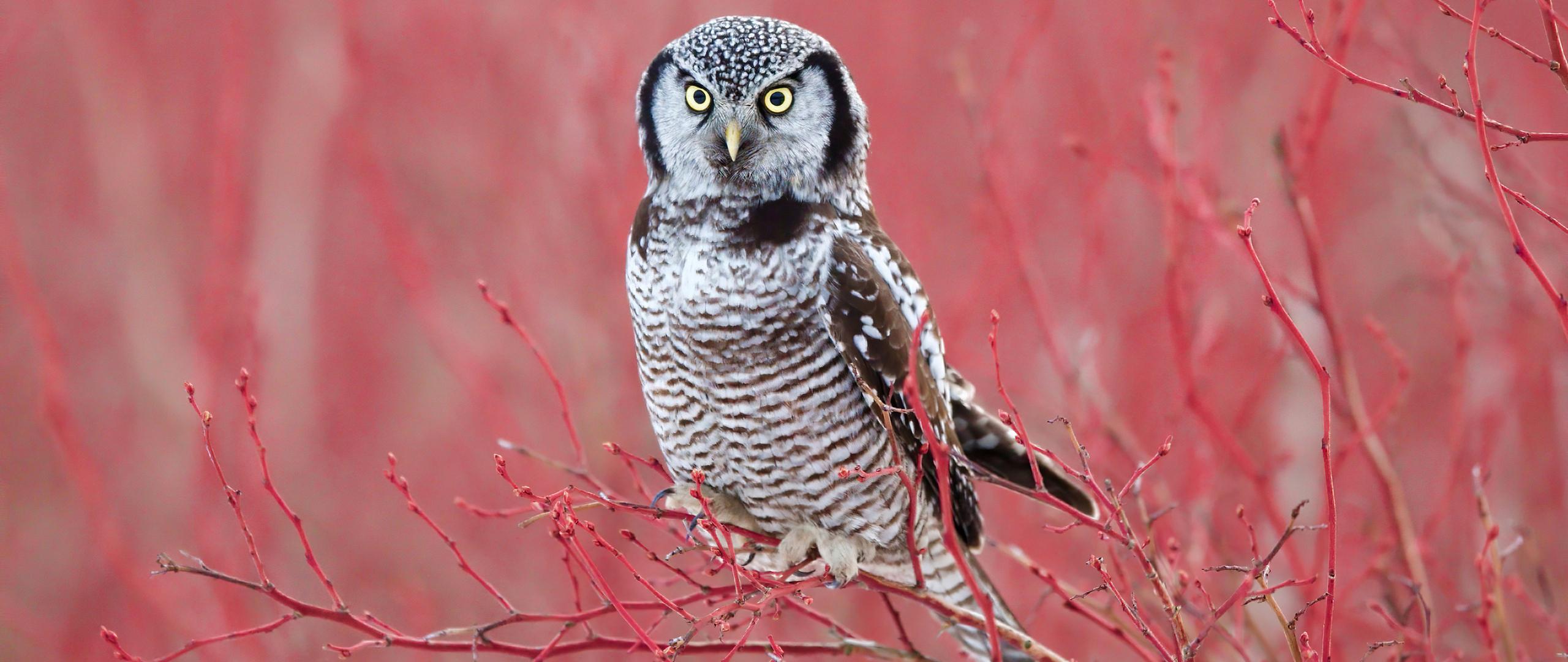 2560x1080 White Hawk Owl 4k 2560x1080 Resolution HD 4k ...