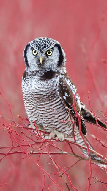 white-hawk-owl-4k-70.jpg