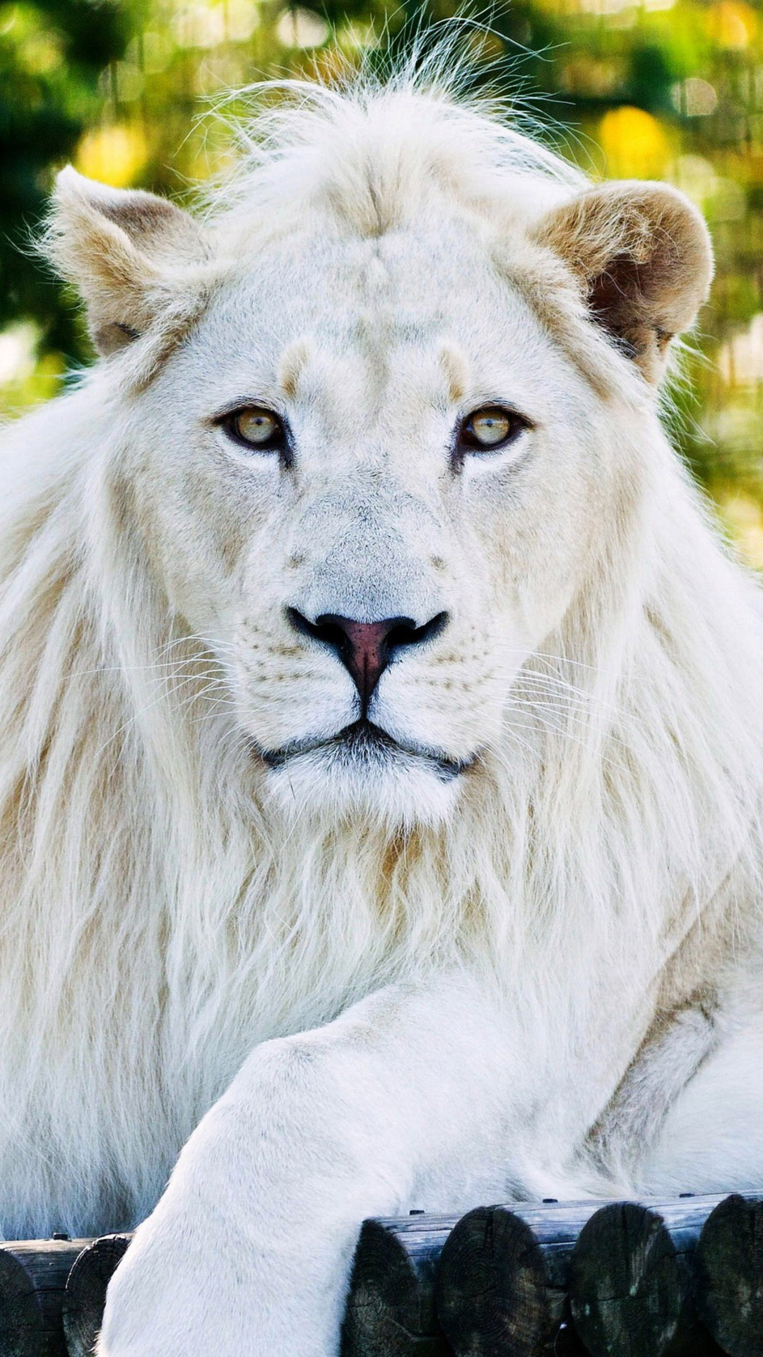 1080x1920 White Lion Iphone 7 6s 6 Plus Pixel Xl One Plus 3 3t 5