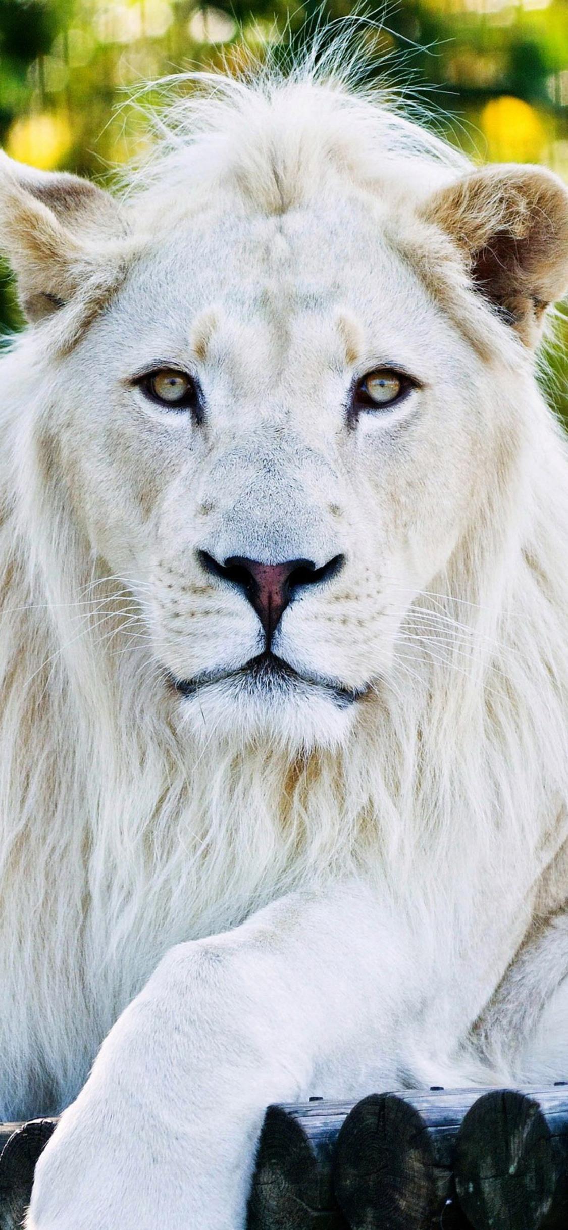 1125x2436 White Lion Iphone Xs Iphone 10 Iphone X Hd 4k
