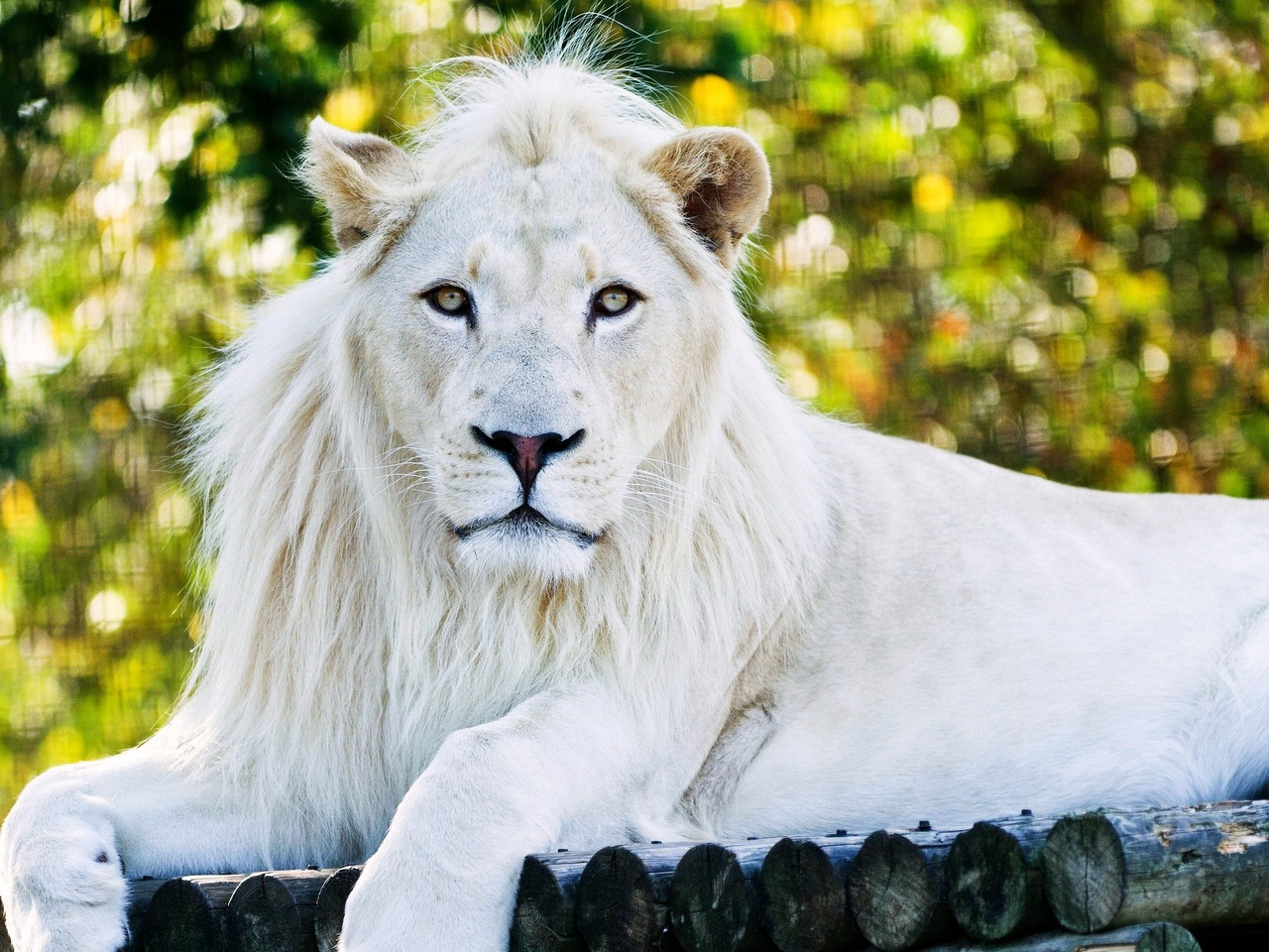 Download White Lion HD Wallpaper In 1280x960 Screen Resolution