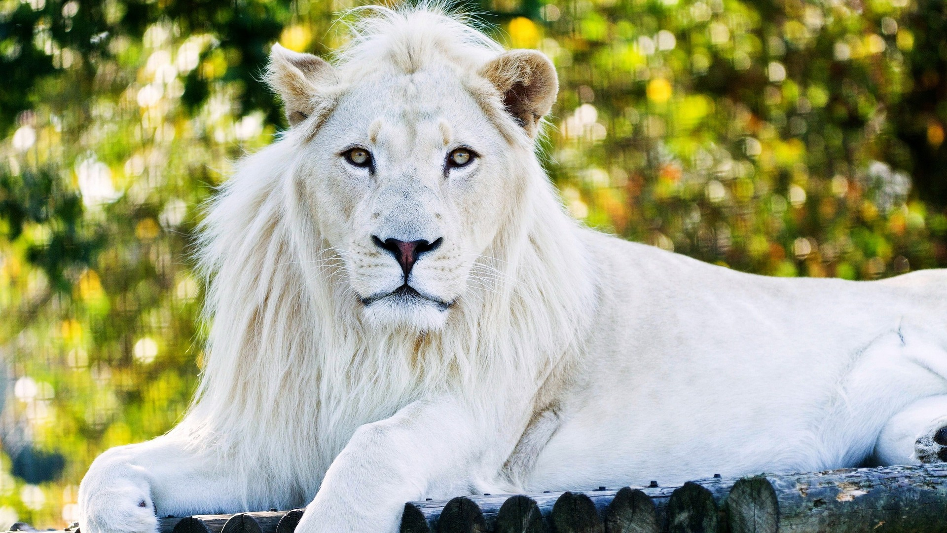 1920x1080 White Lion Laptop Full Hd 1080p Hd 4k Wallpapers Images
