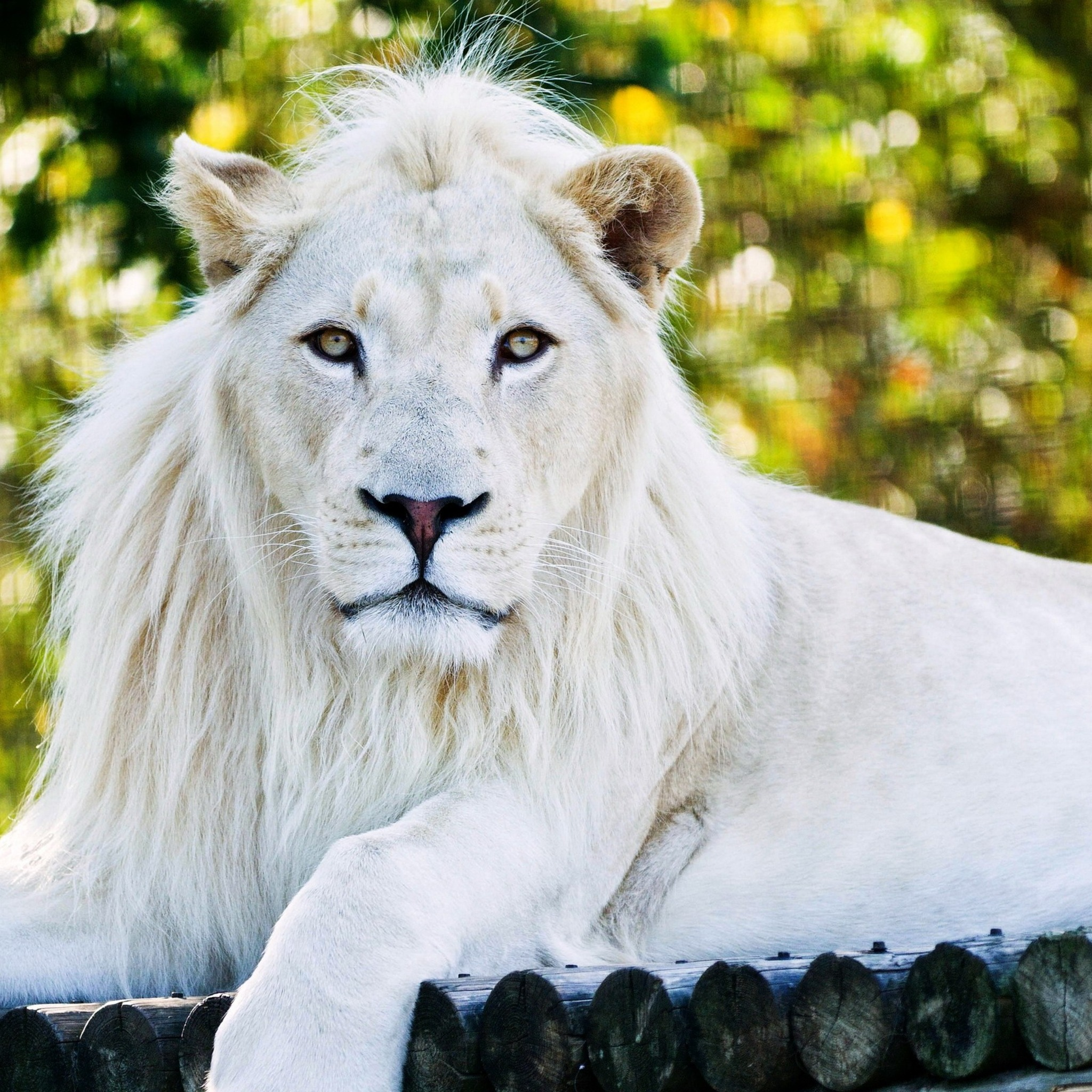 wallpapers download white lion