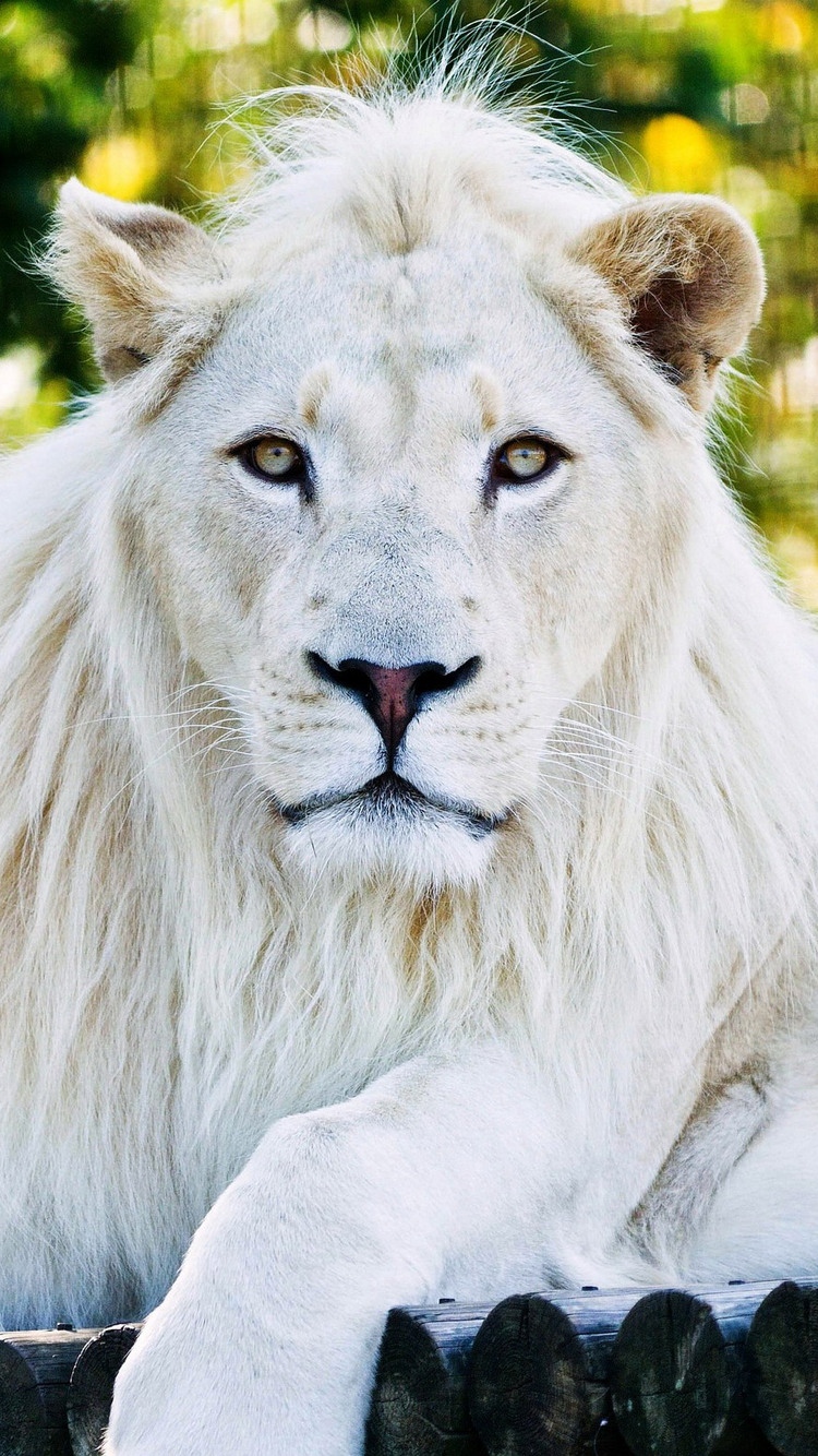 750x1334 White Lion Iphone 6 Iphone 6s Iphone 7 Hd 4k
