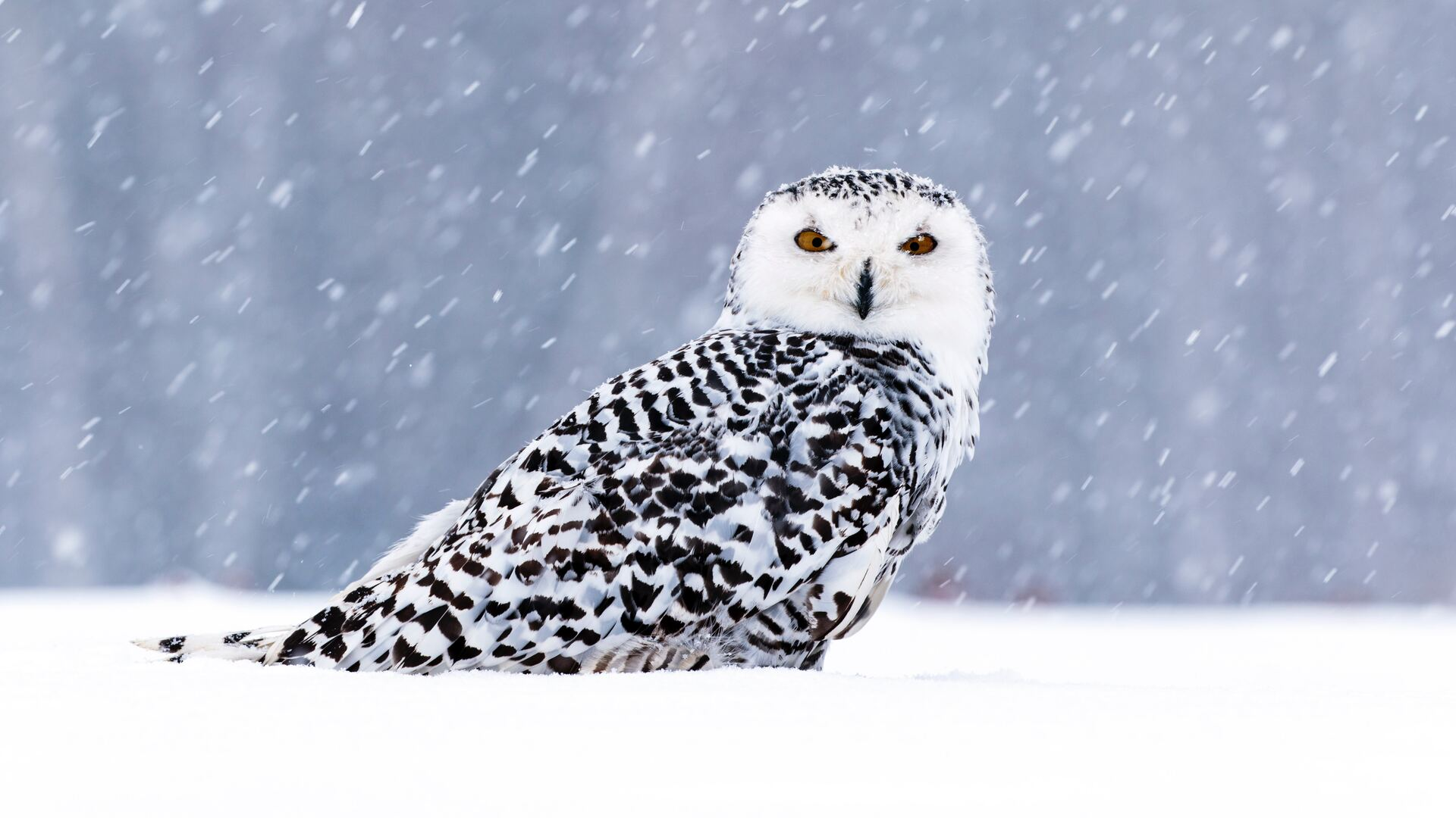 1920x1080 White Owl In Snow 5k Laptop Full Hd 1080p Hd 4k