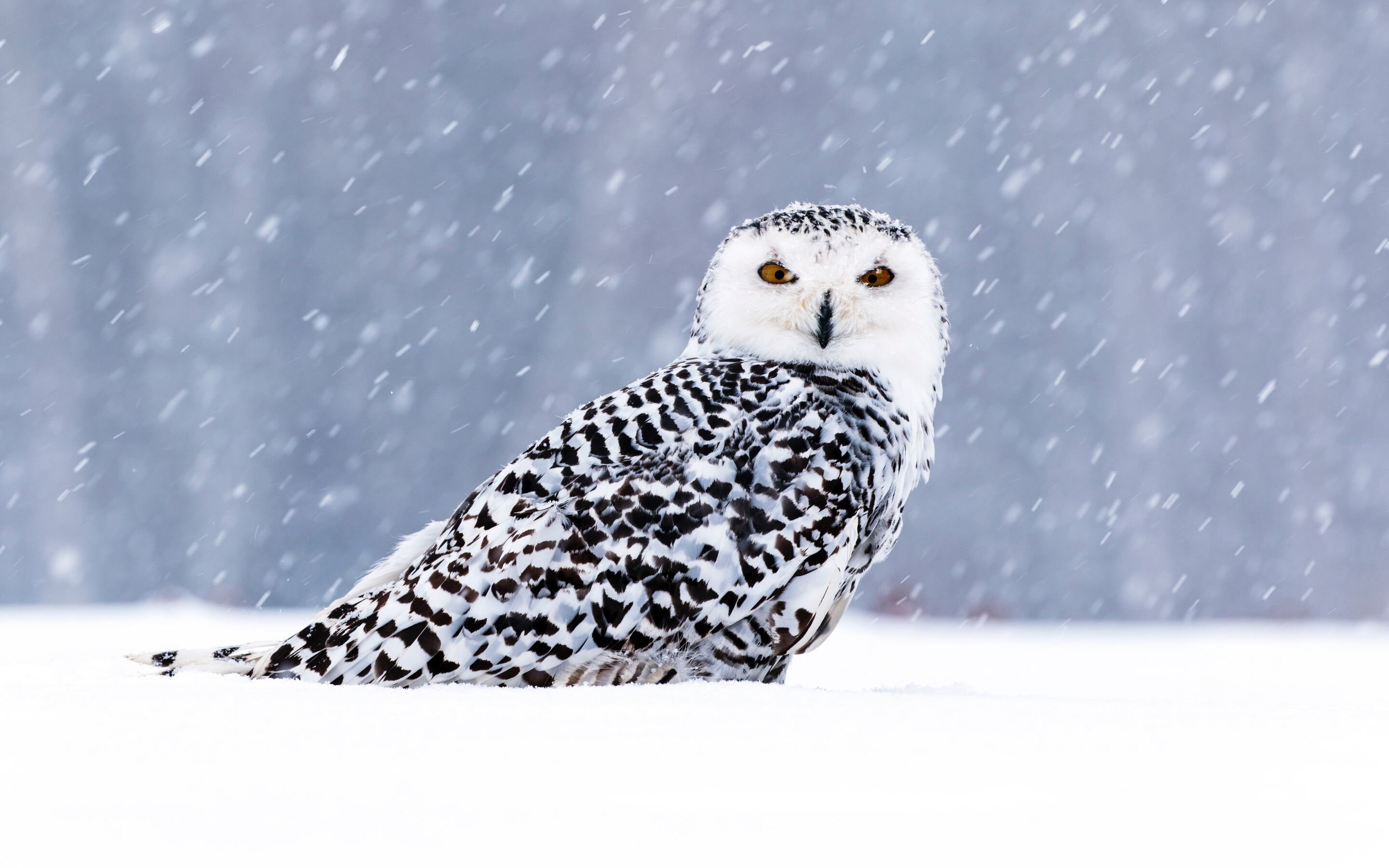 white-owl-in-snow-5k-c3.jpg