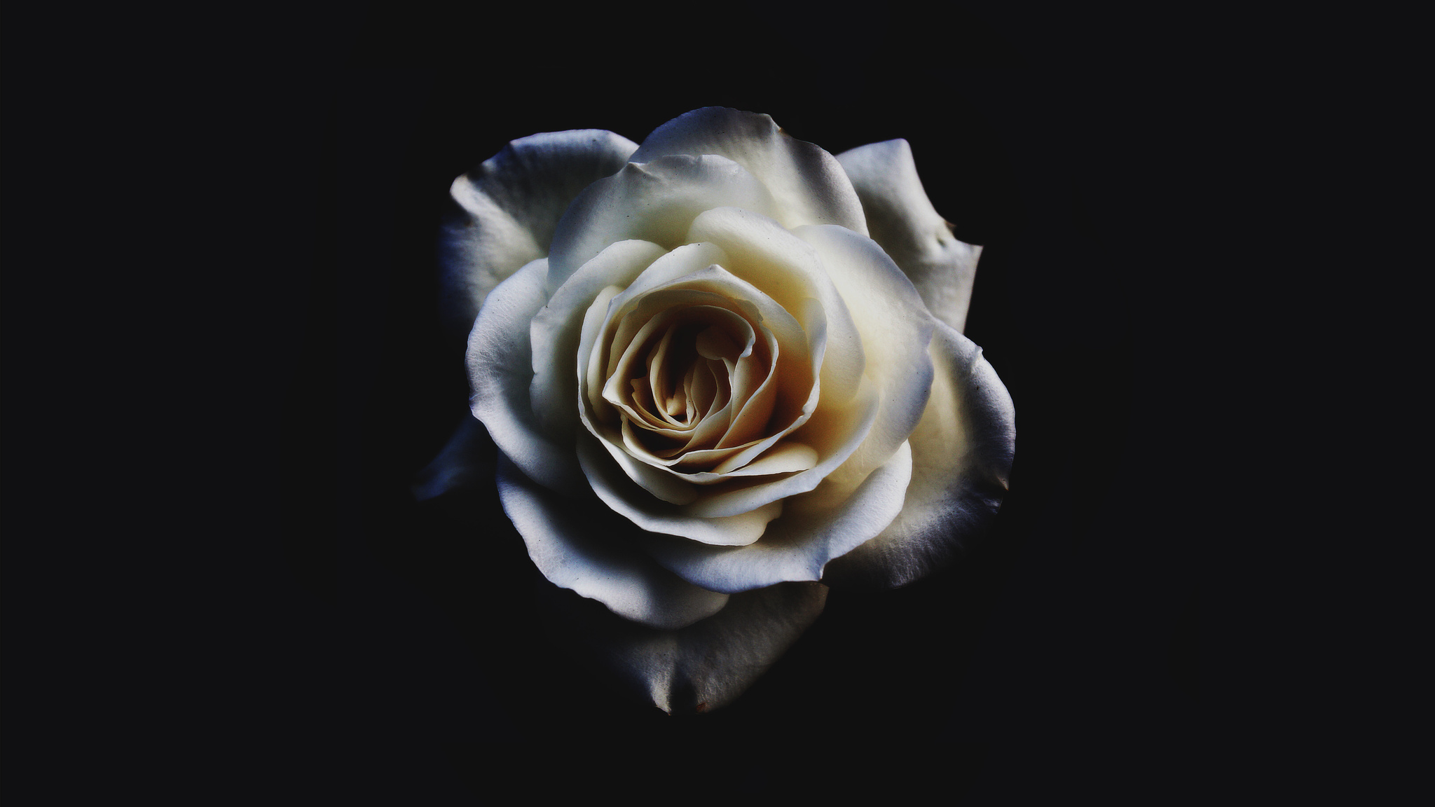 2048x1152 White Rose Resolution HD 4k Wallpapers Images