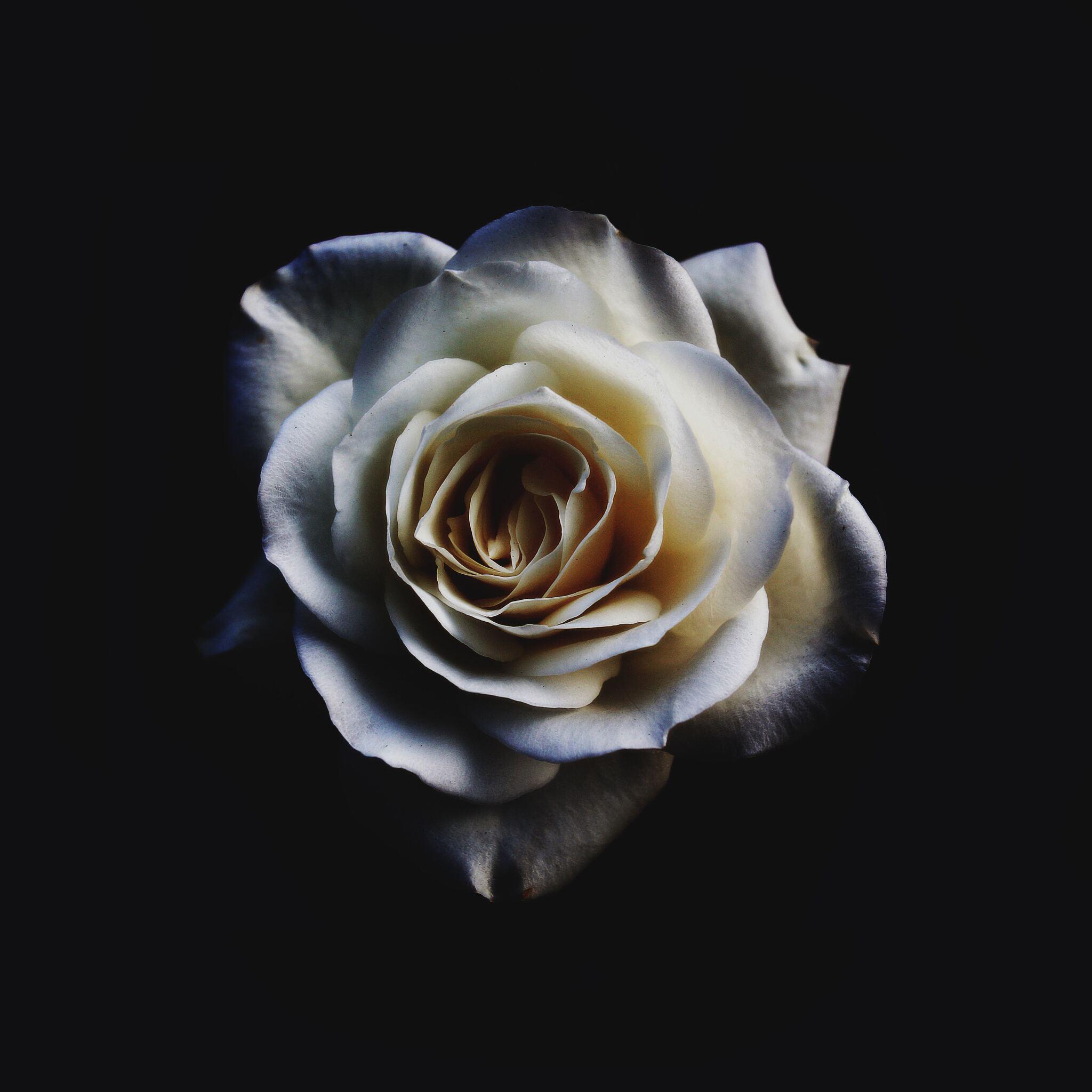 white-rose-oled-5k-u5.jpg