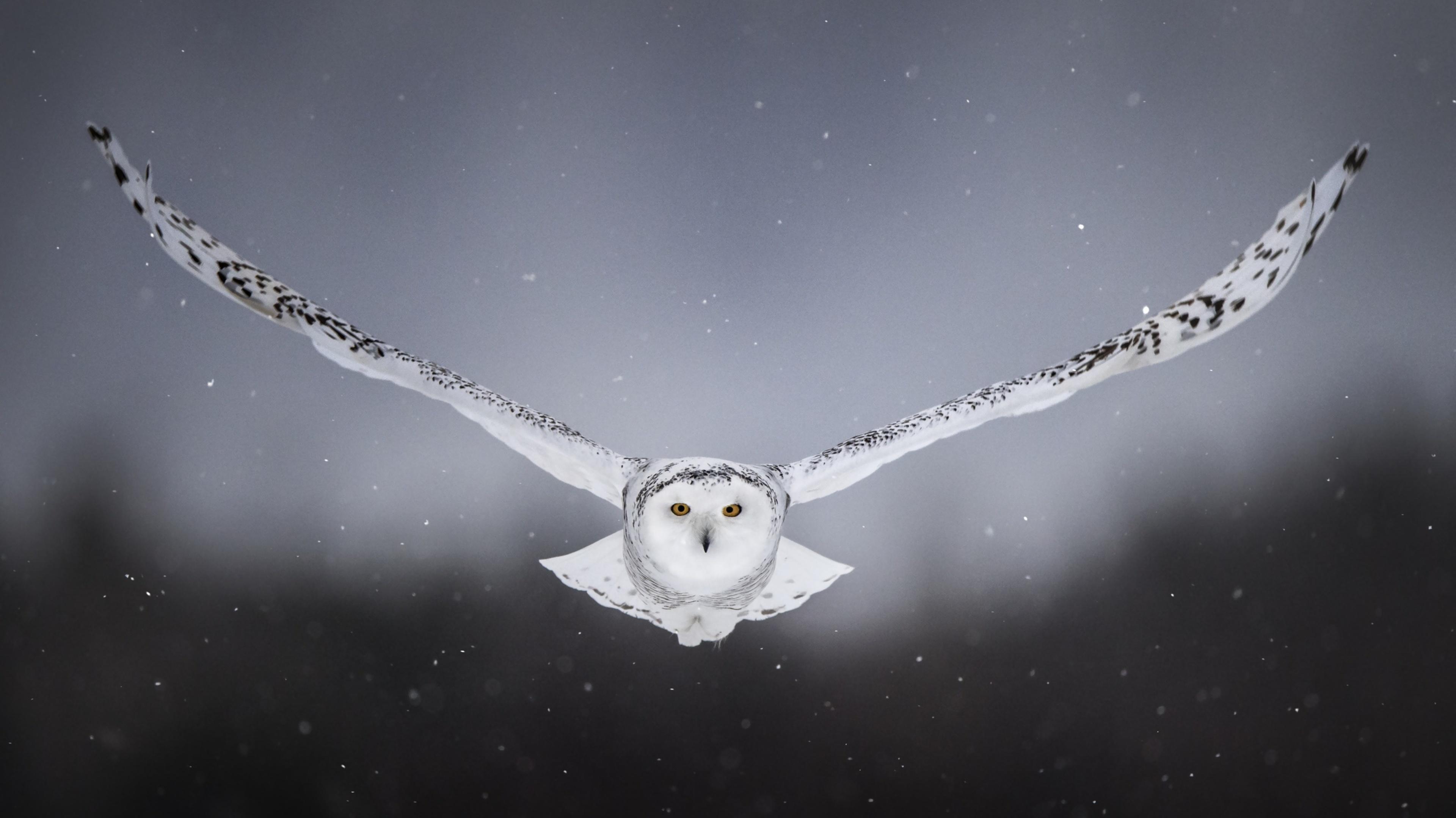 3840x2160 White Snow Owl Flying 4k HD 4k Wallpapers ...