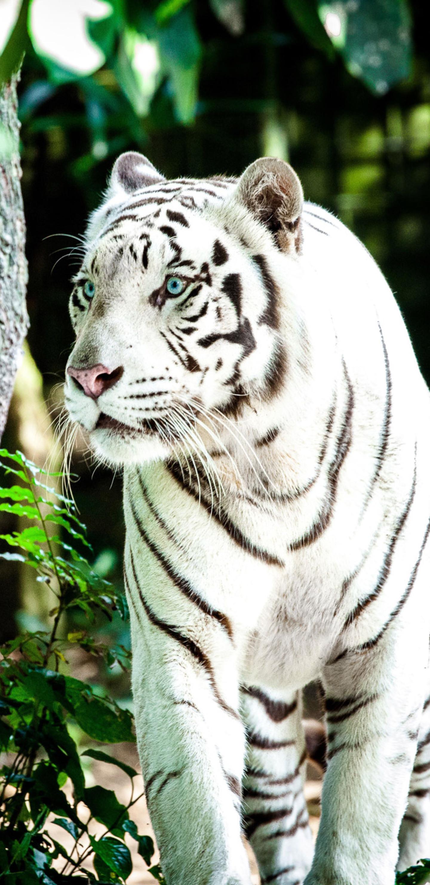 1440x2960 White Tiger 4k Samsung Galaxy Note 9 8 S9 S8 S8 Qhd Hd