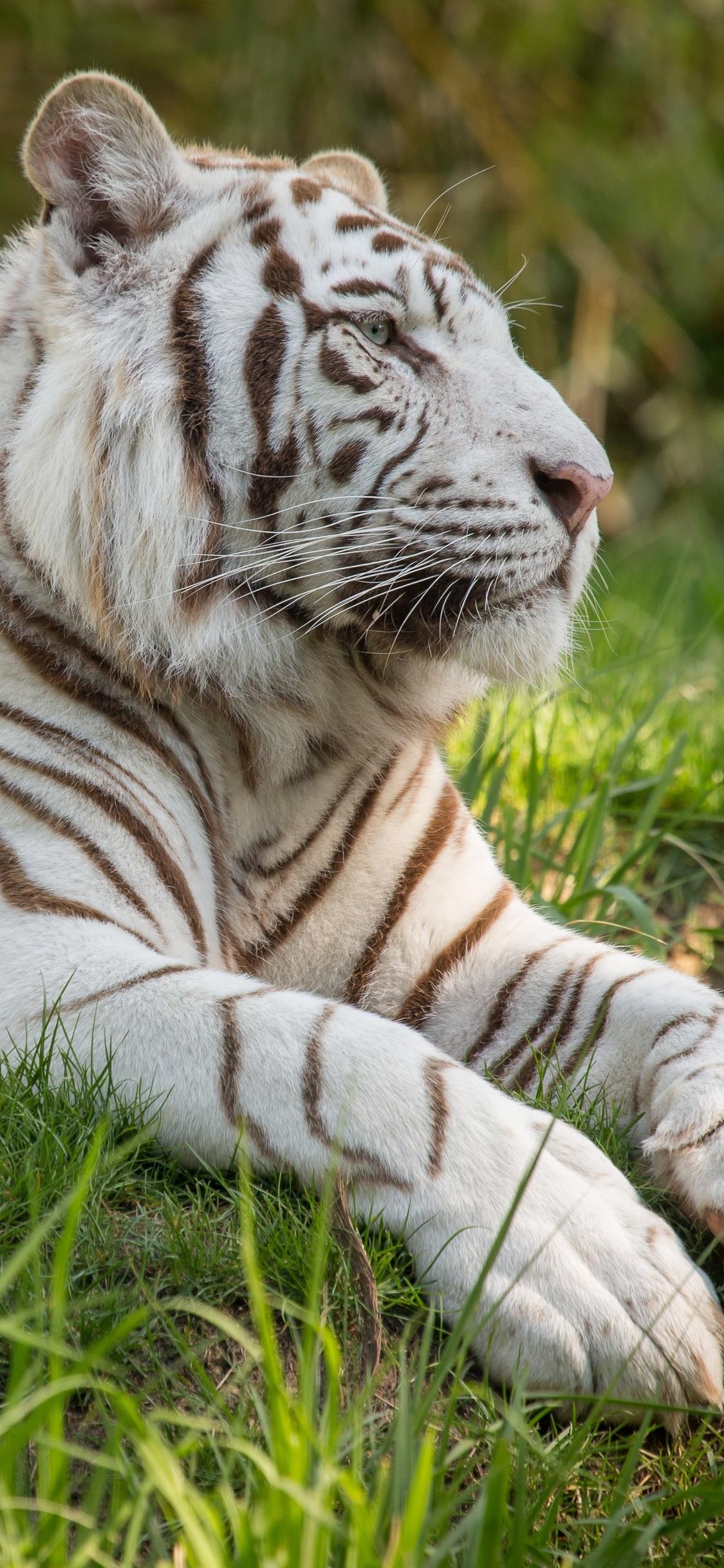 white-tiger-5k-qa.jpg
