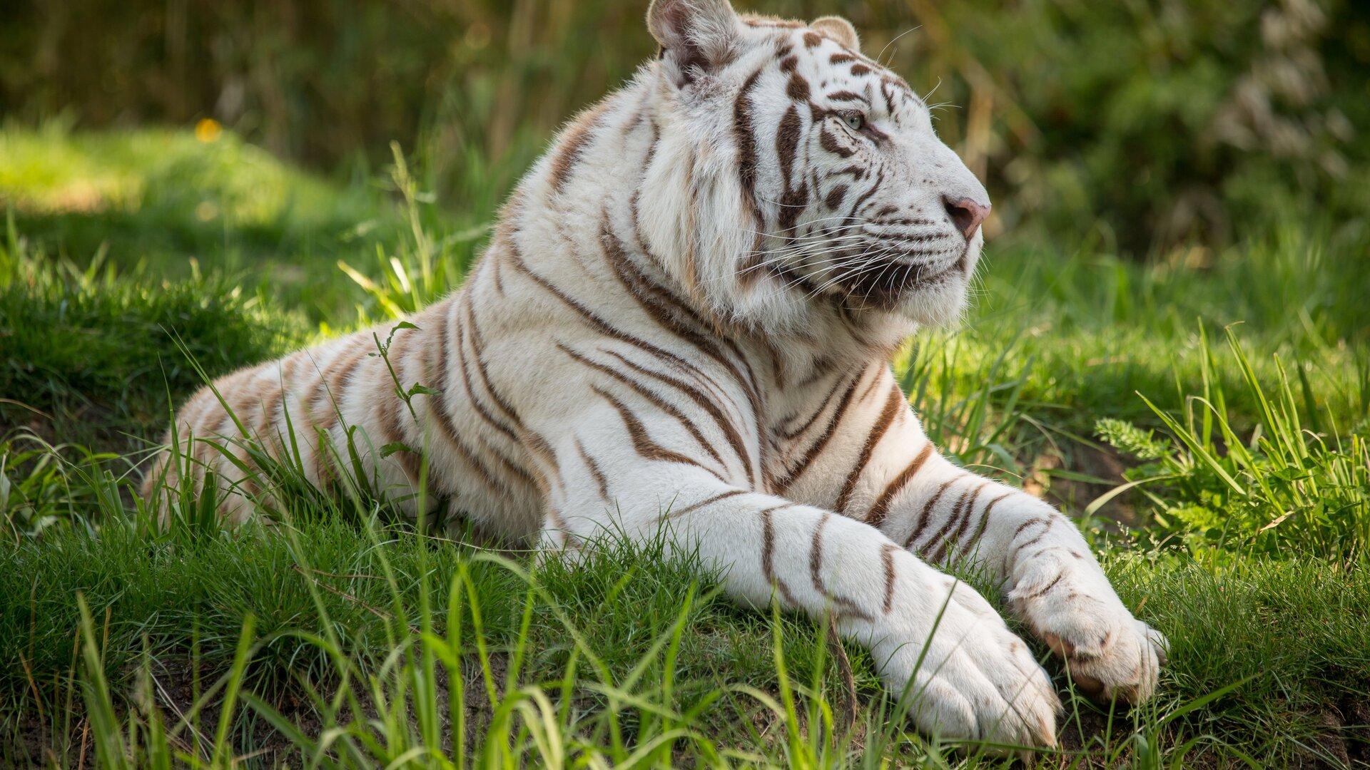 White Tiger Wallpaper 1080p 1920x1080 White...