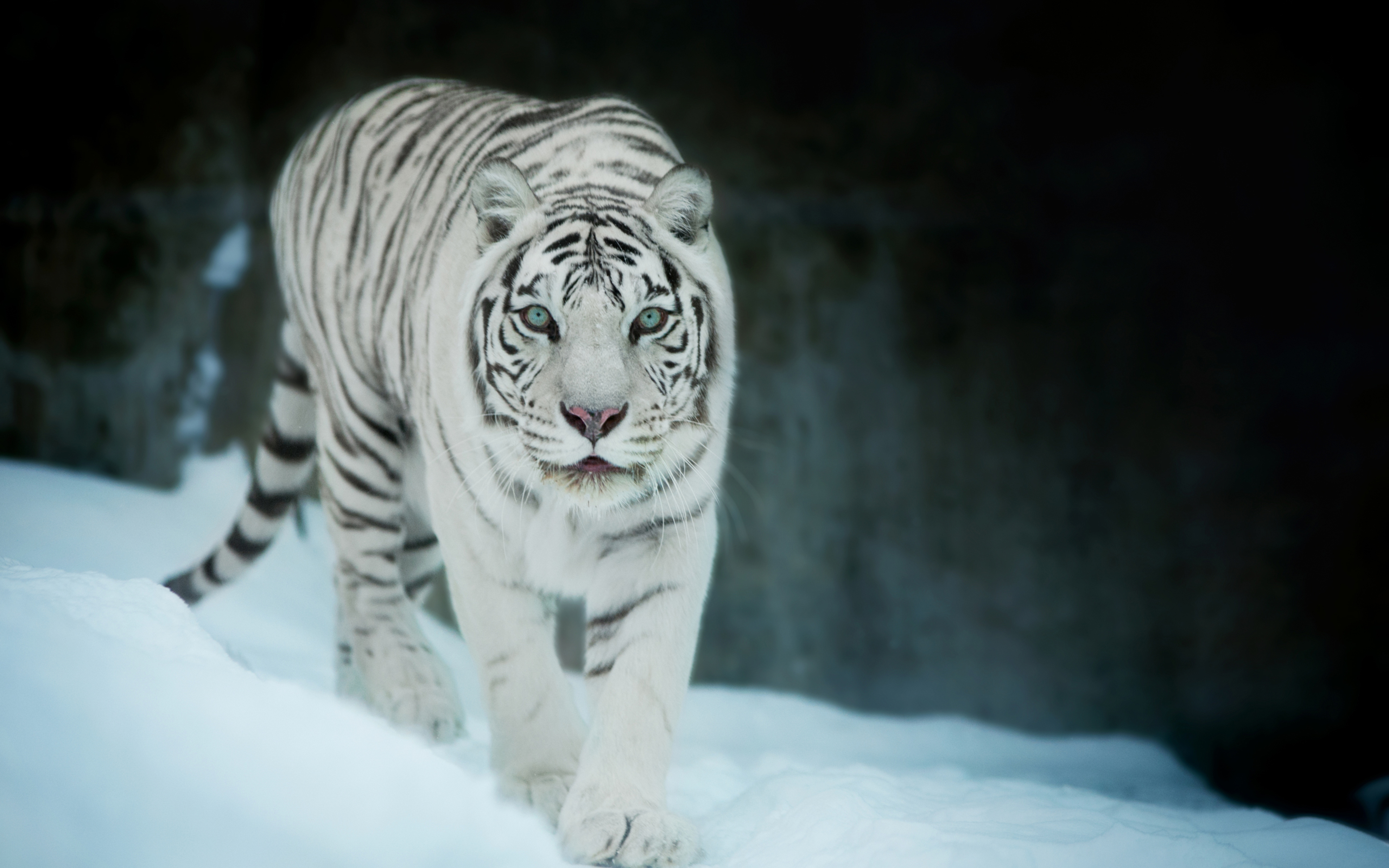 3840x2400 White Tiger In Snow 4k HD 4k Wallpapers, Images ...