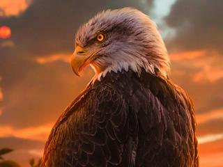 wild-bald-eagle-4k-su.jpg