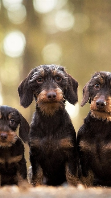 wirehaired-dachshund-dogs-n3.jpg