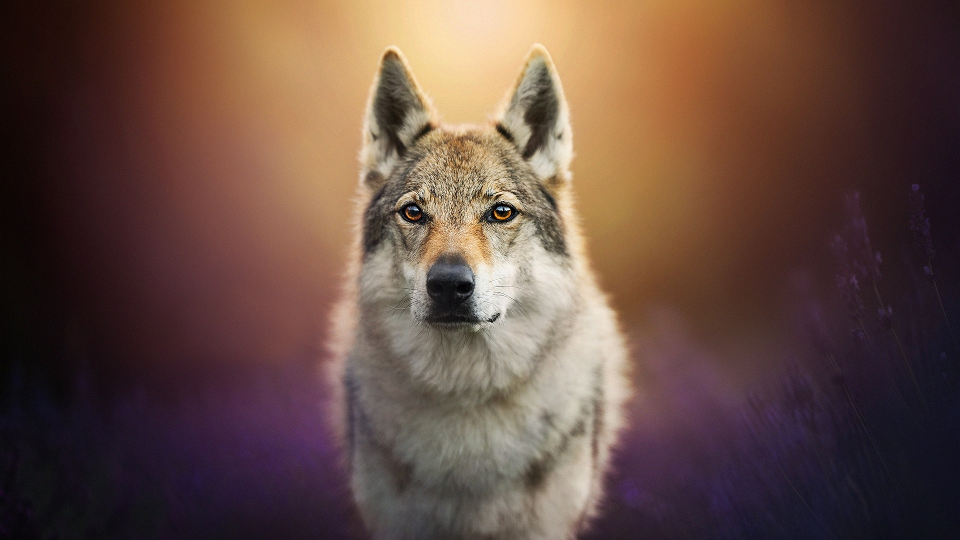 1920x1080 Wolf Dog Laptop Full Hd 1080p Hd 4k Wallpapers Images Backgrounds Photos And Pictures