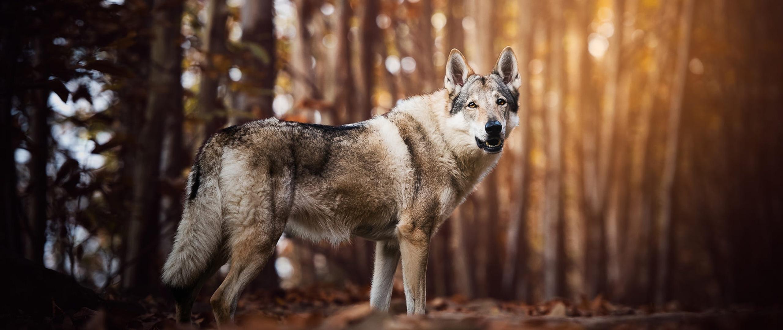 wolf-look-like-dog-60.jpg
