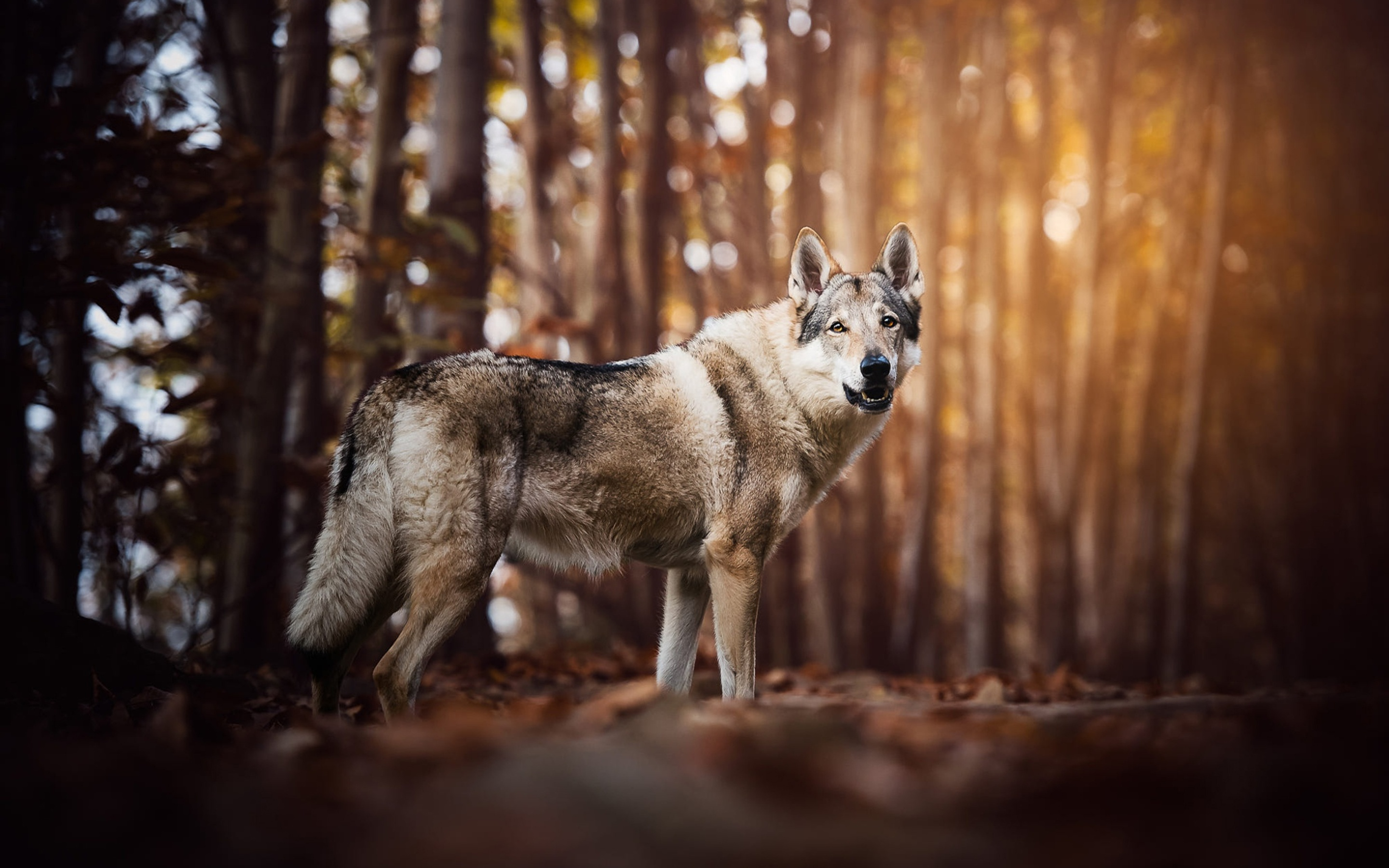 wolf-look-like-dog-60.jpg