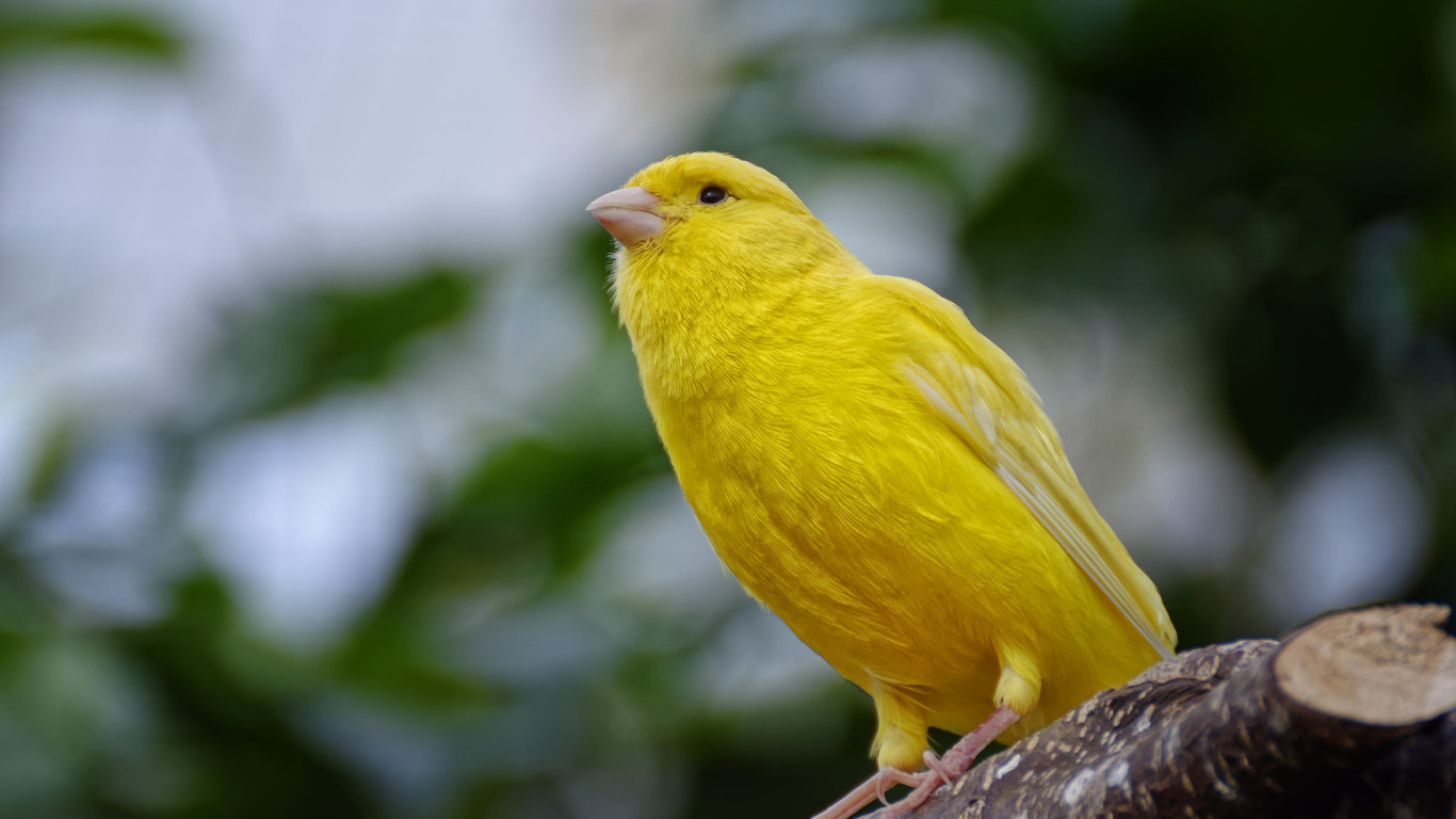 yellow-canary-tu.jpg