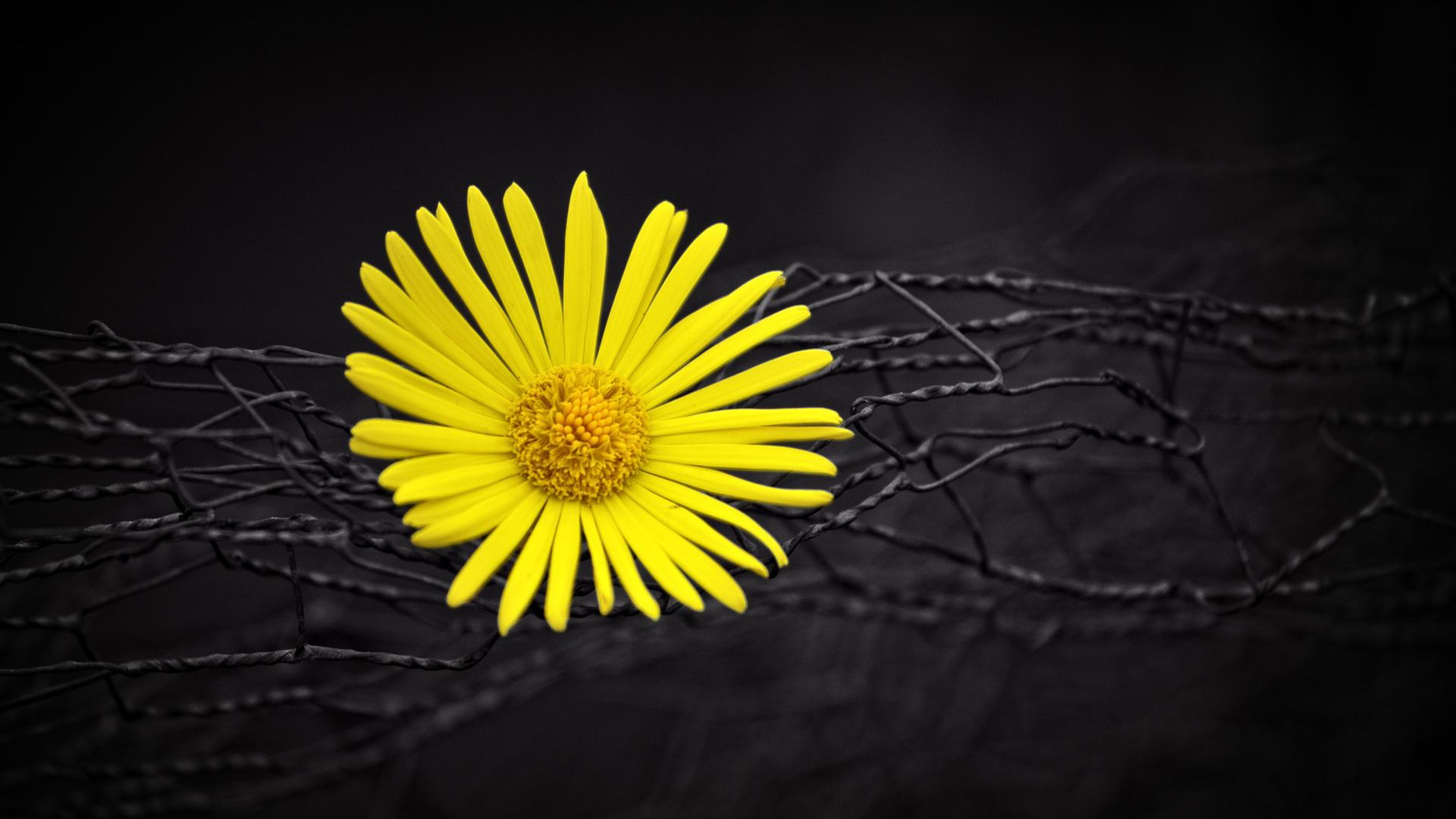 1920x1080 Yellow Flower Fence Dark Black Background Laptop Full Hd