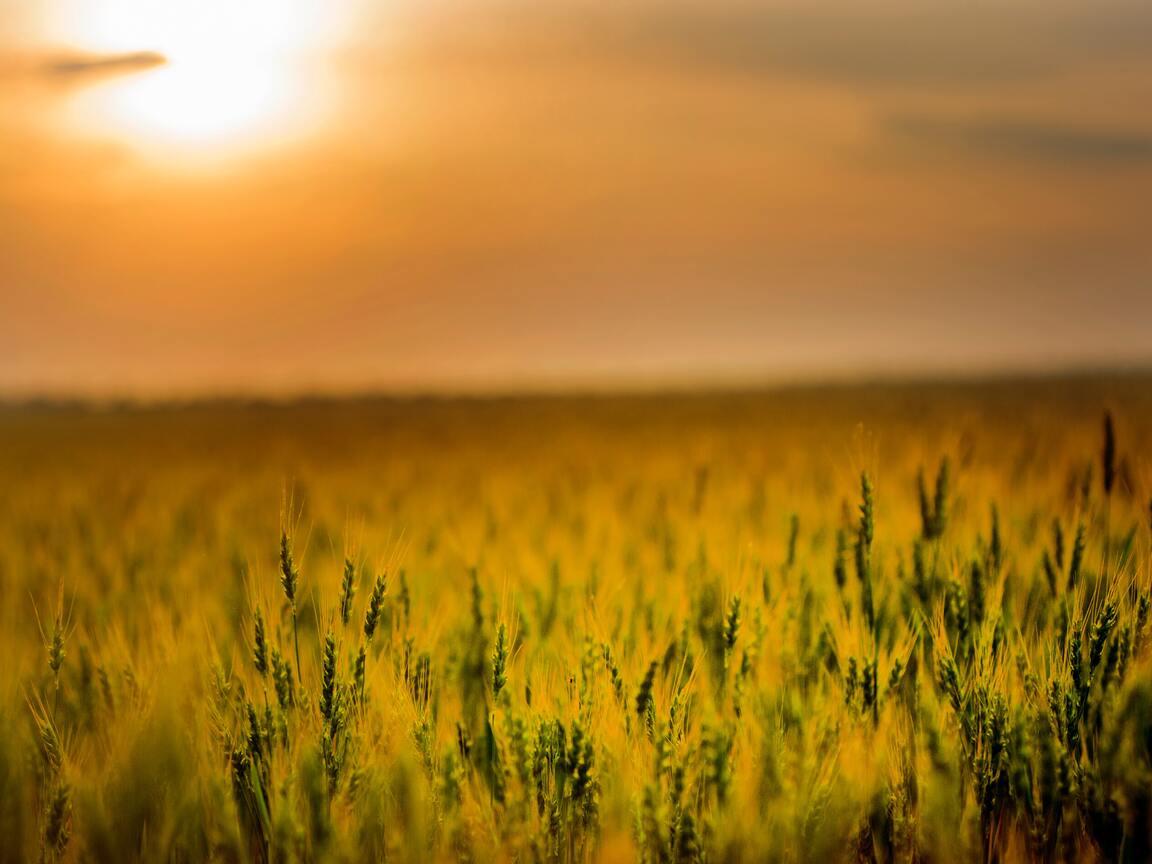 yellow-green-field-during-sunset-4k-un.jpg
