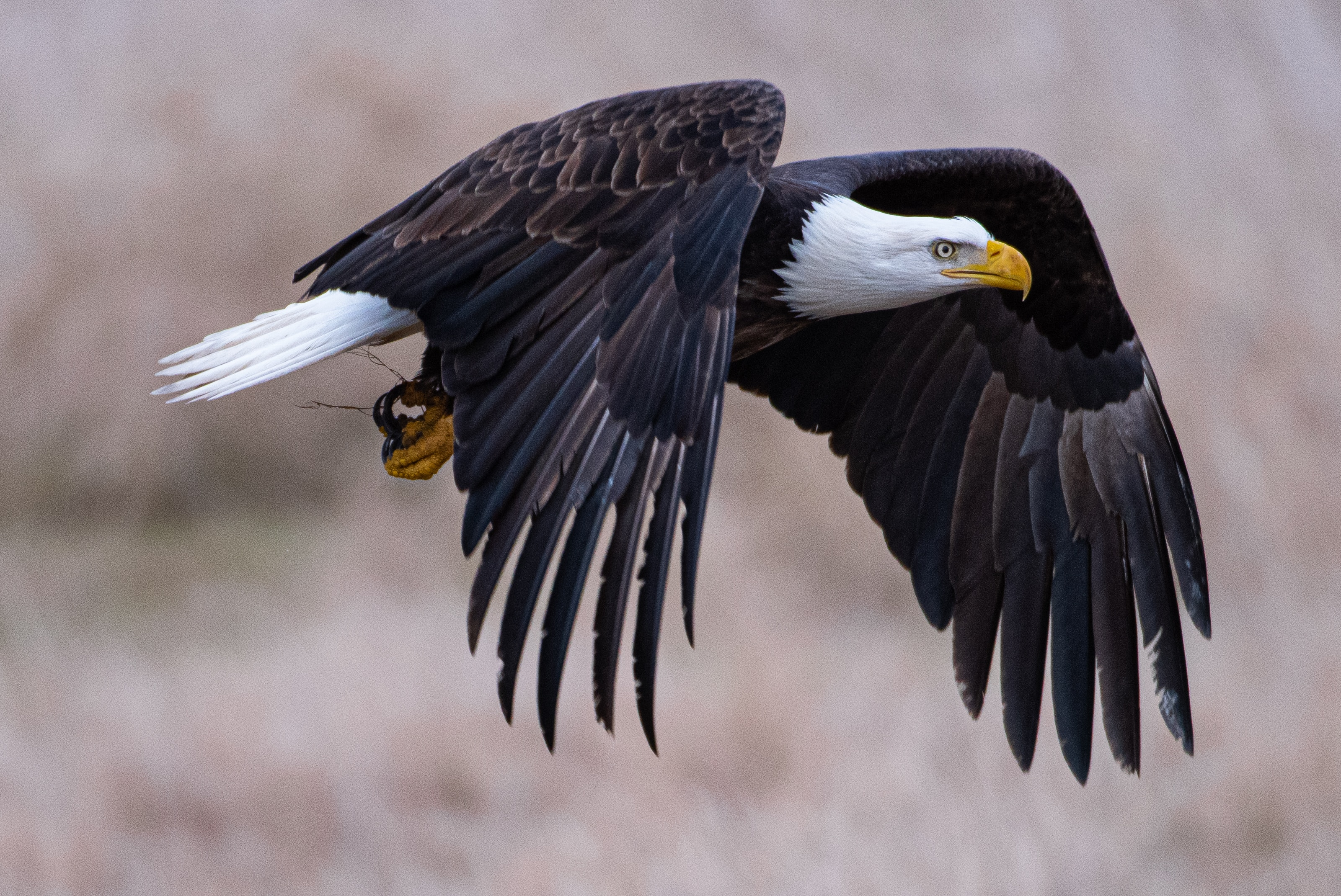 4k Bald Eagle Hd Birds 4k Wallpapers Images Backgrounds Photos And Pictures