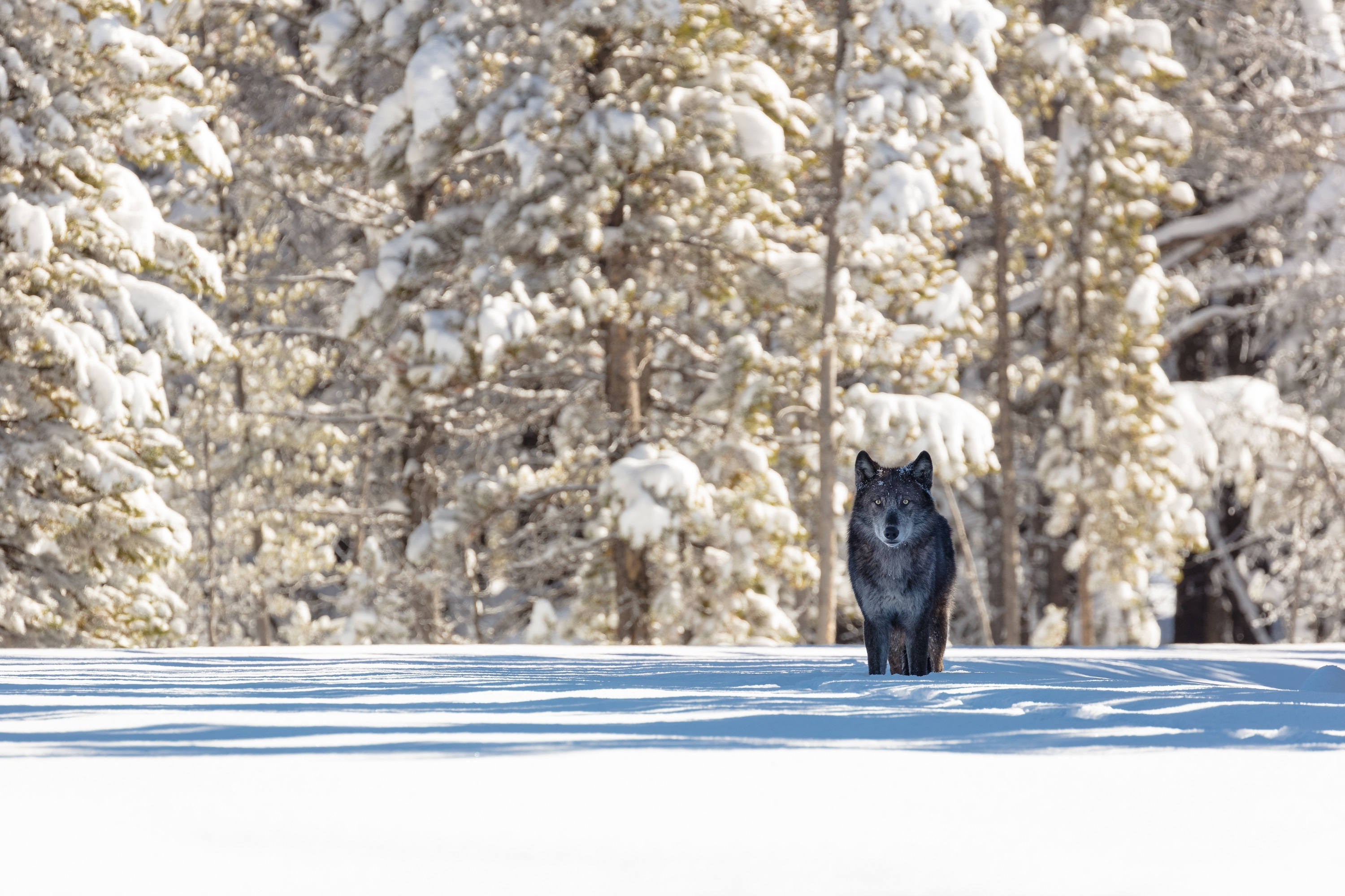 1125x2436 Black Wolf Iphone Xs Iphone 10 Iphone X Hd 4k Wallpapers Images Backgrounds Photos And Pictures