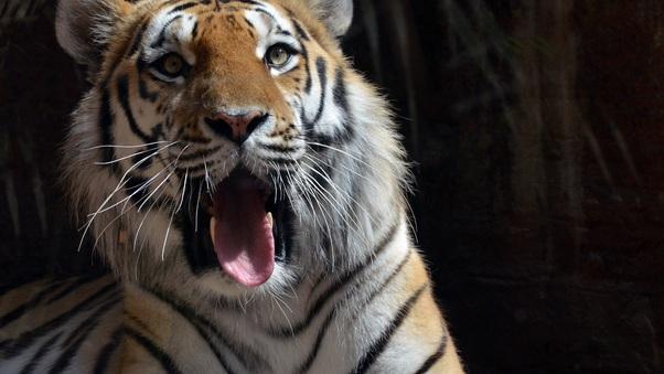 5k-tiger-65.jpg