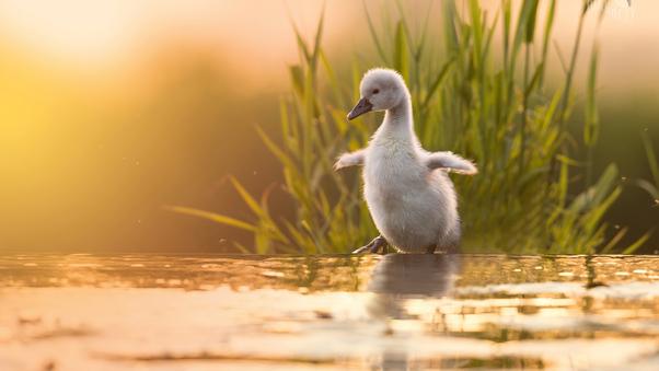 baby-swan-4k-d6.jpg