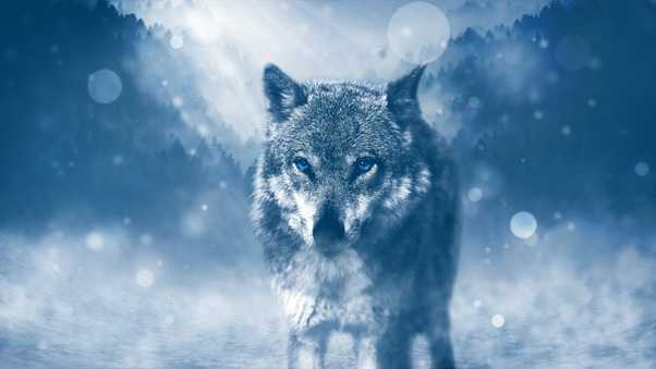Blue Eyed Wolf Hd Animals 4k Wallpapers Images Backgrounds Photos And Pictures