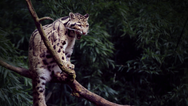 clouded-leopard-yawning-5k-18.jpg