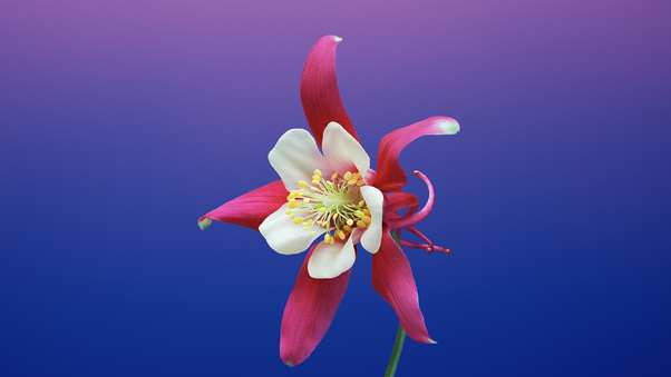 Ios 11 Flower Aquilegia Hd Flowers 4k Wallpapers Images