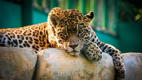 jaguar-mexico-cheetah.jpg