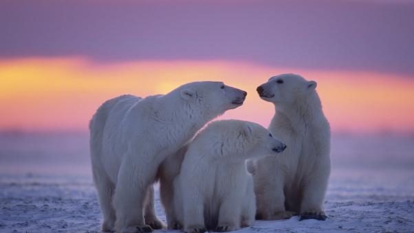 polar-bear-family-5r.jpg